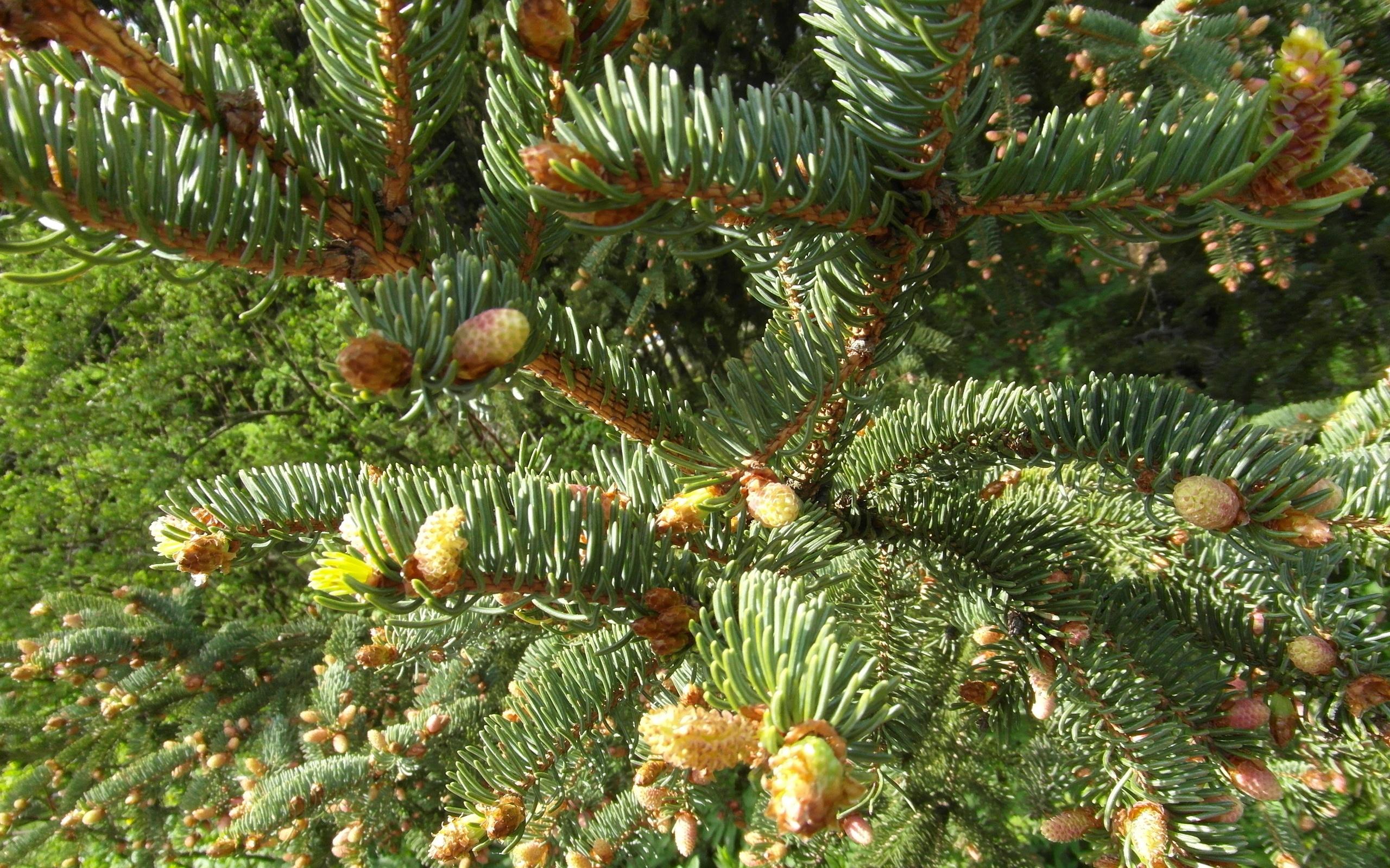 природа деревья ель  № 316155  скачать