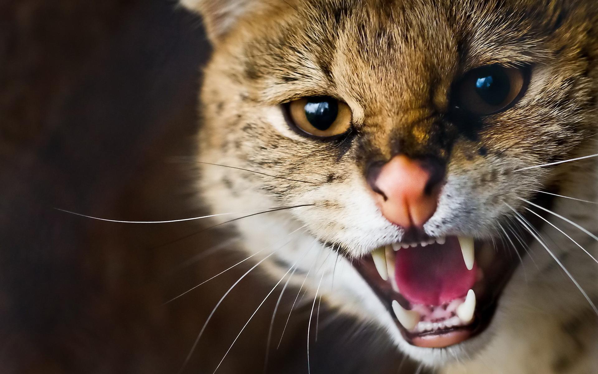 Агрессивные картинки на рабочий стол, кошки