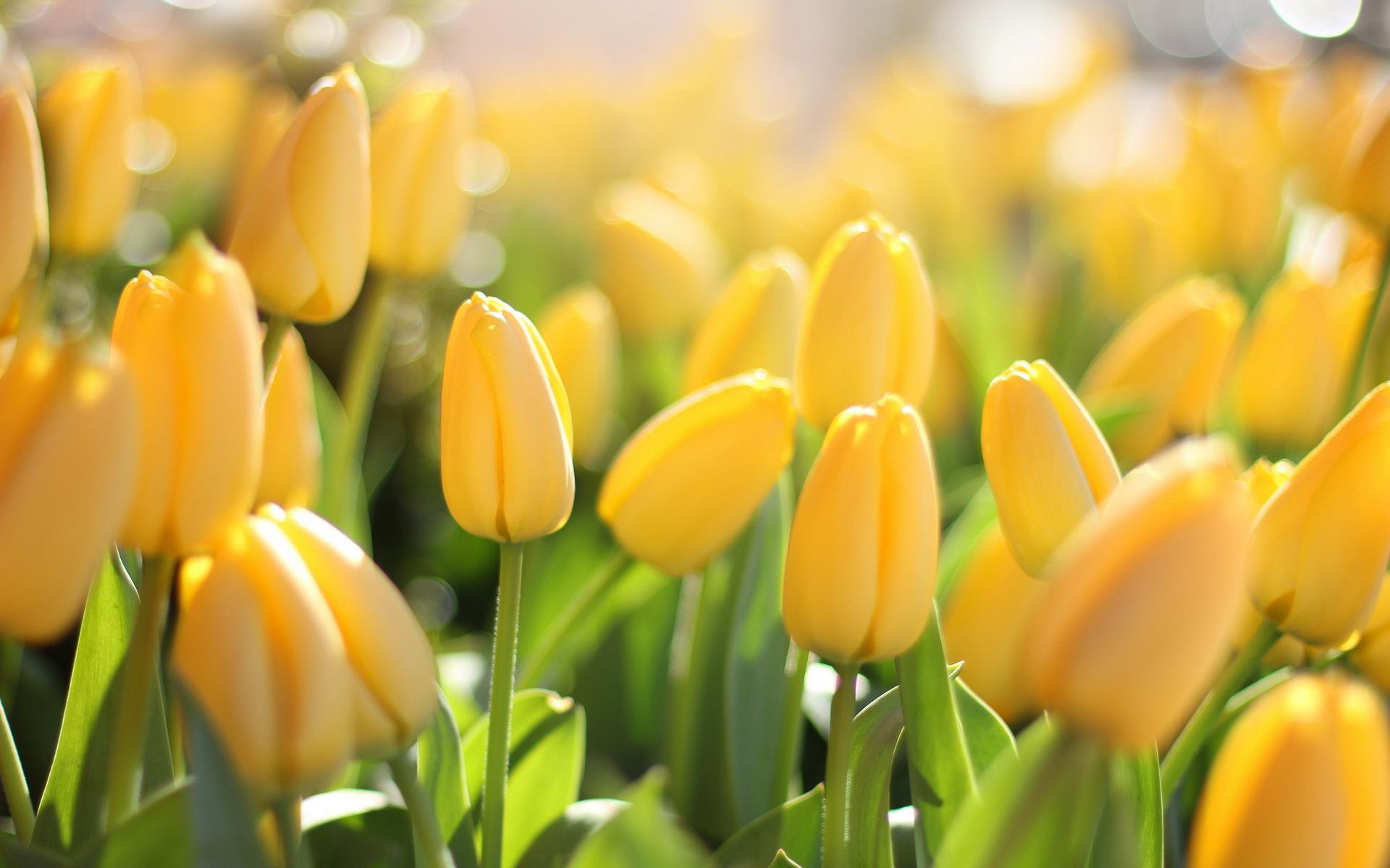 природа цветы тюльпаны желтые nature flowers tulips yellow бесплатно