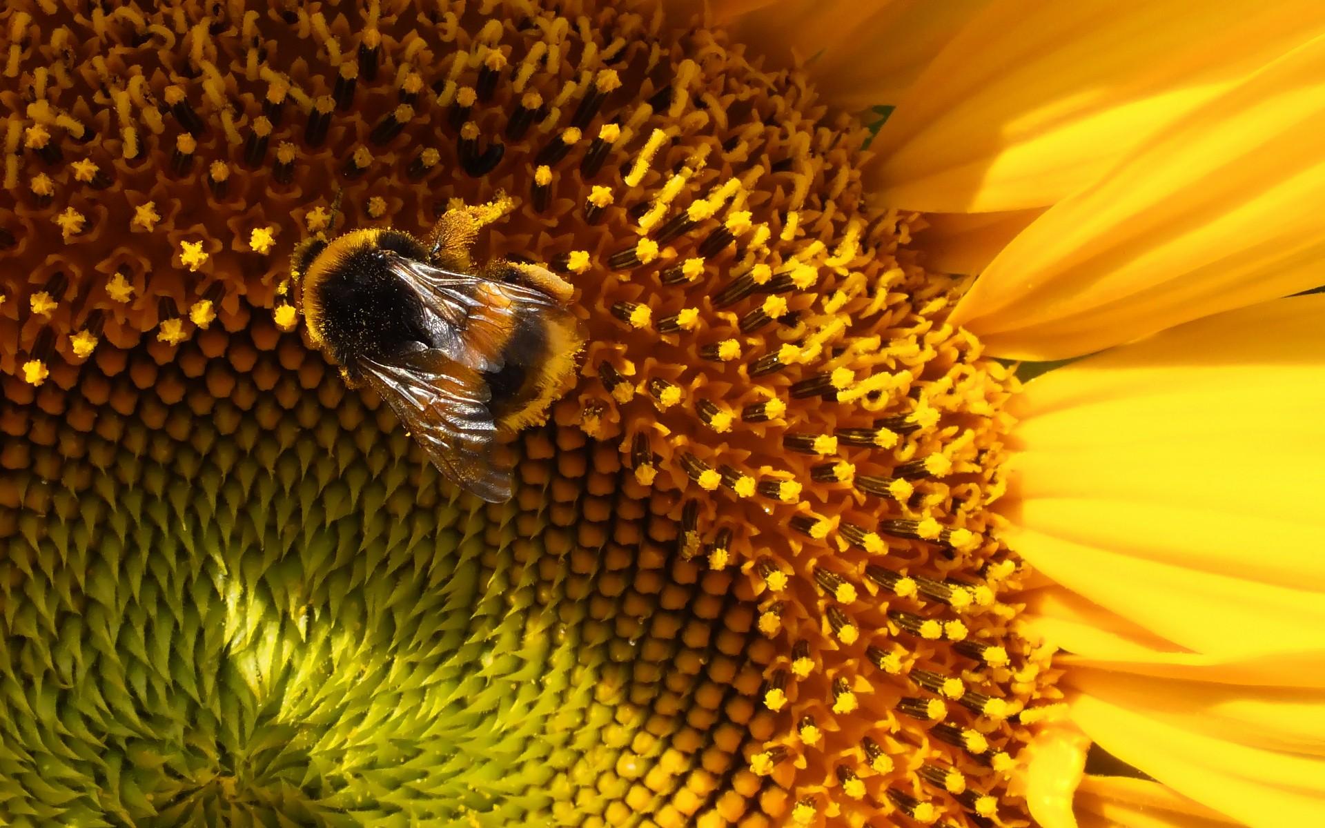 Пчела на подсолнухе  № 657683  скачать