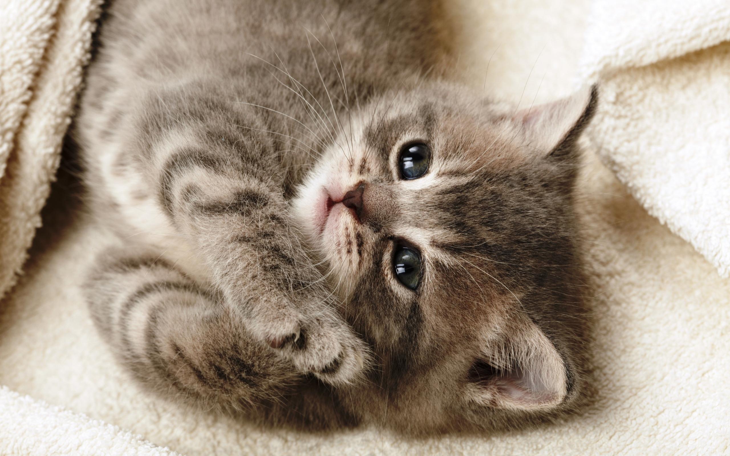 котенок дымчатый kitten smoky  № 2344390  скачать