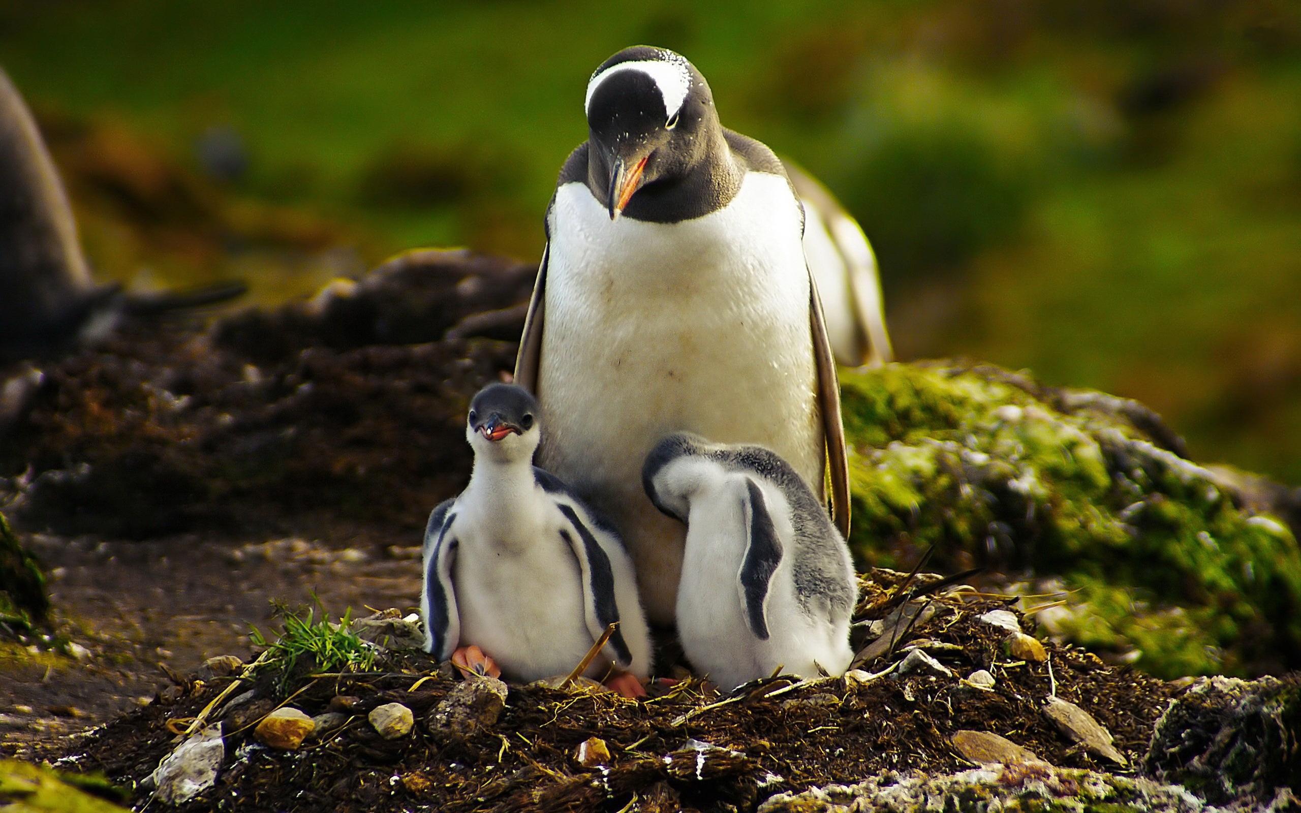 Пингвины на камушках  № 2020634 без смс