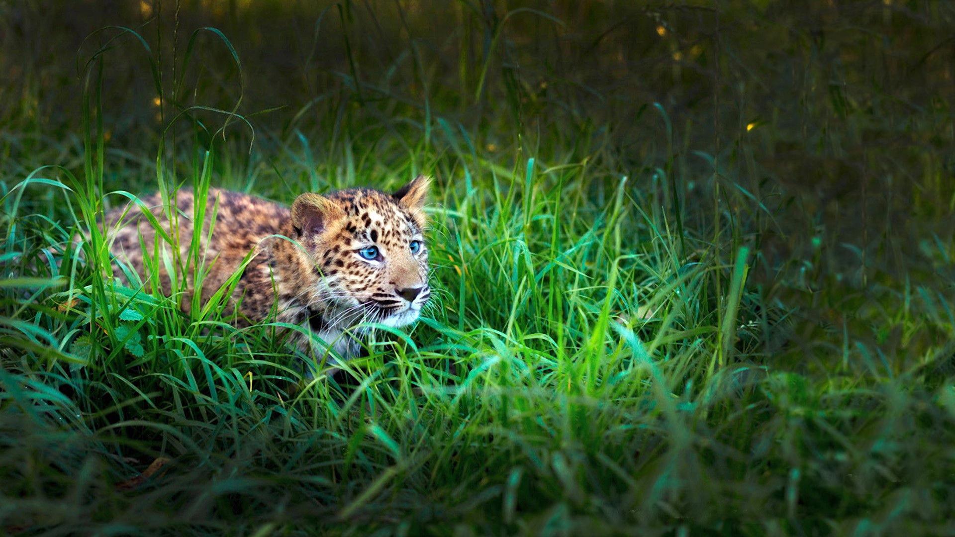 тигры трава природа бесплатно