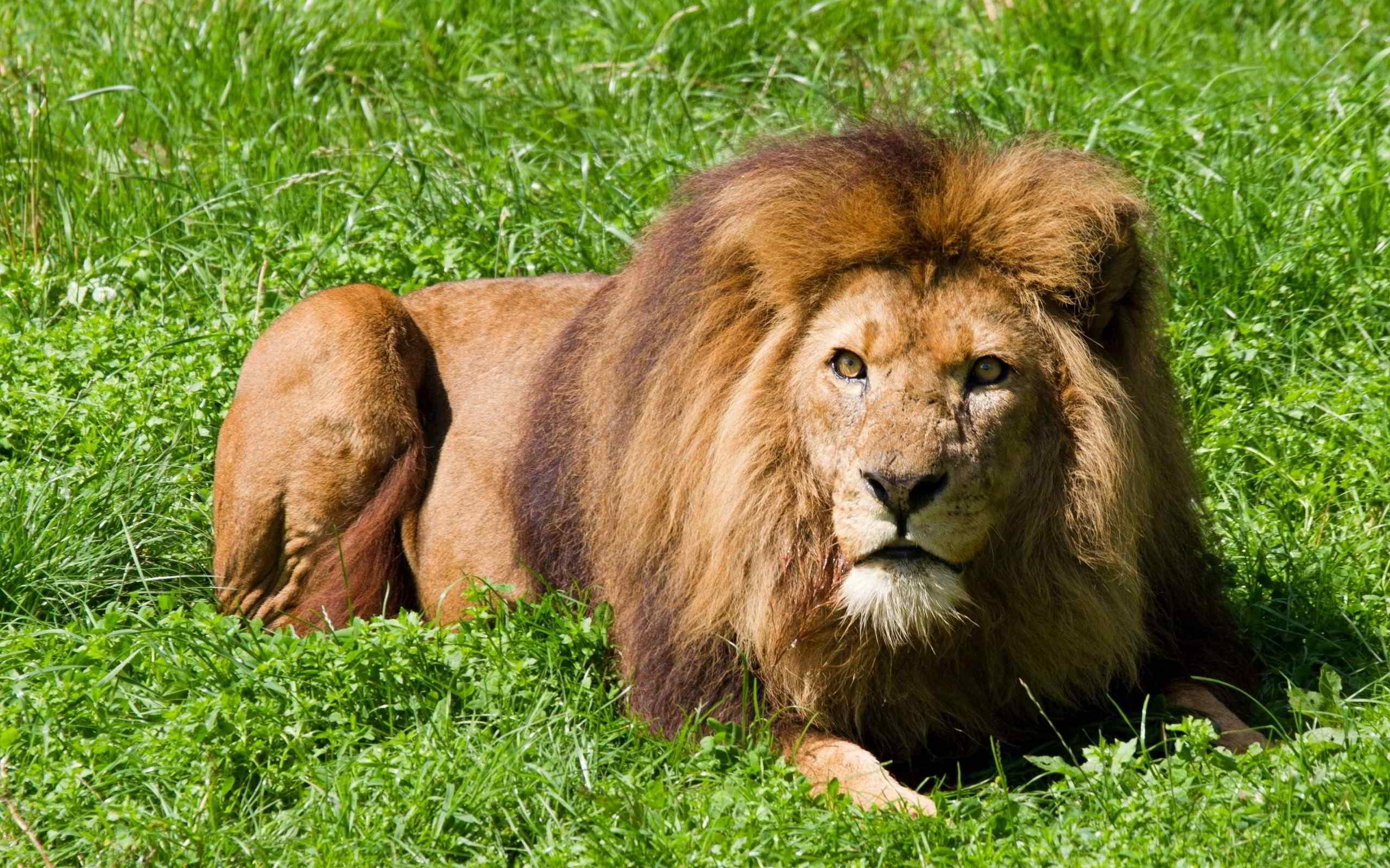 Открытки, картинки львов на рабочий стол