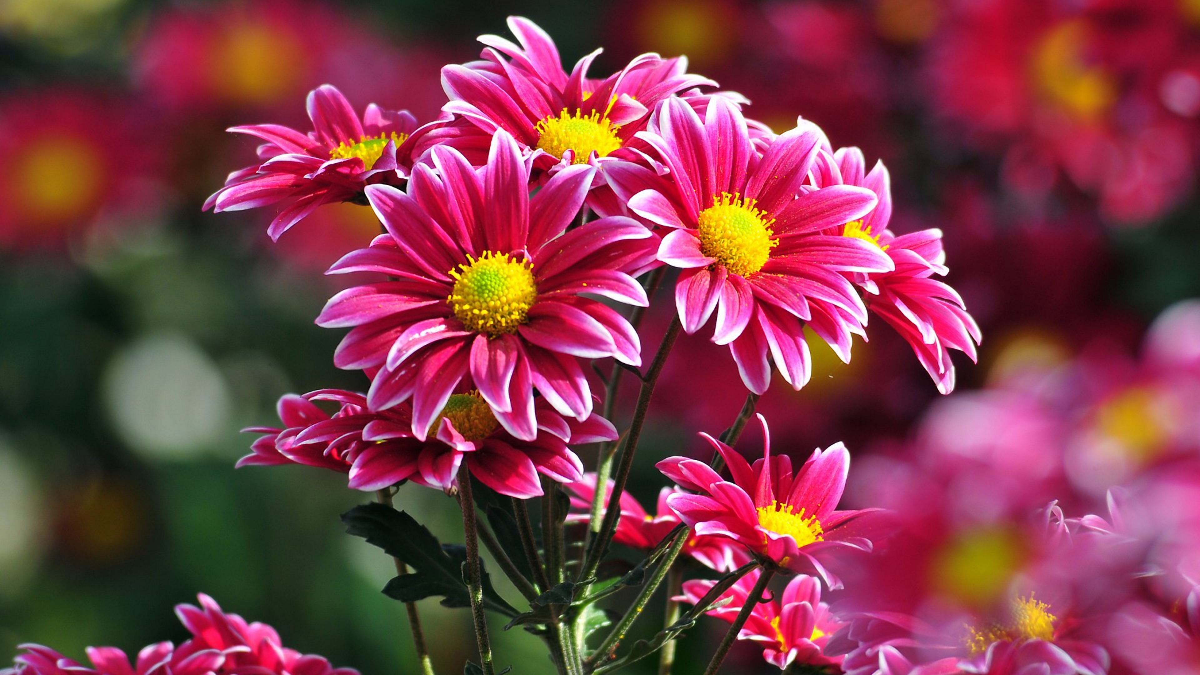 природа цветы Хризантема загрузить
