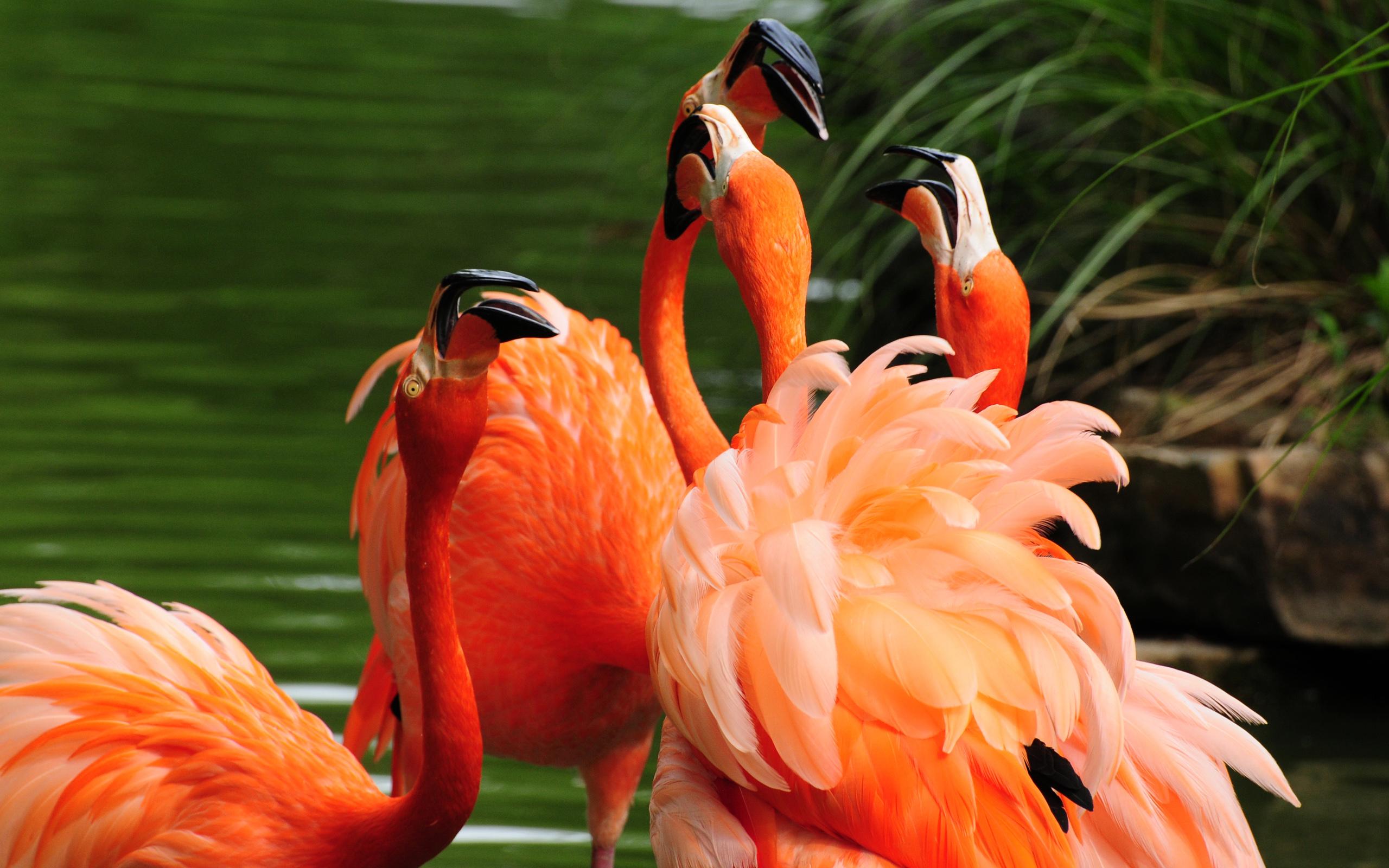 Розовый фламинго бесплатно