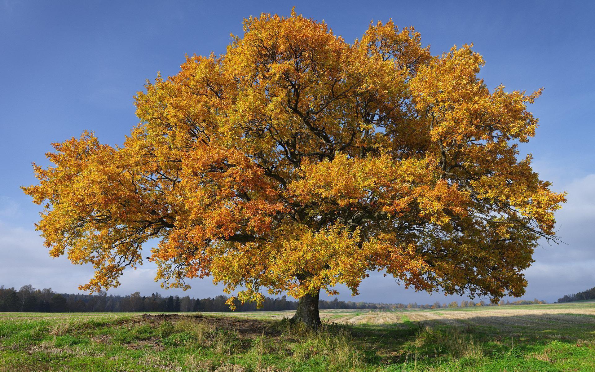 лео предлагает осенний дуб картинки бесплатно красивые картинки