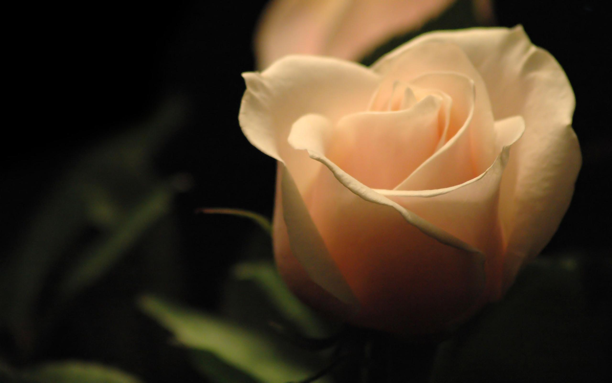 нежная роза без смс