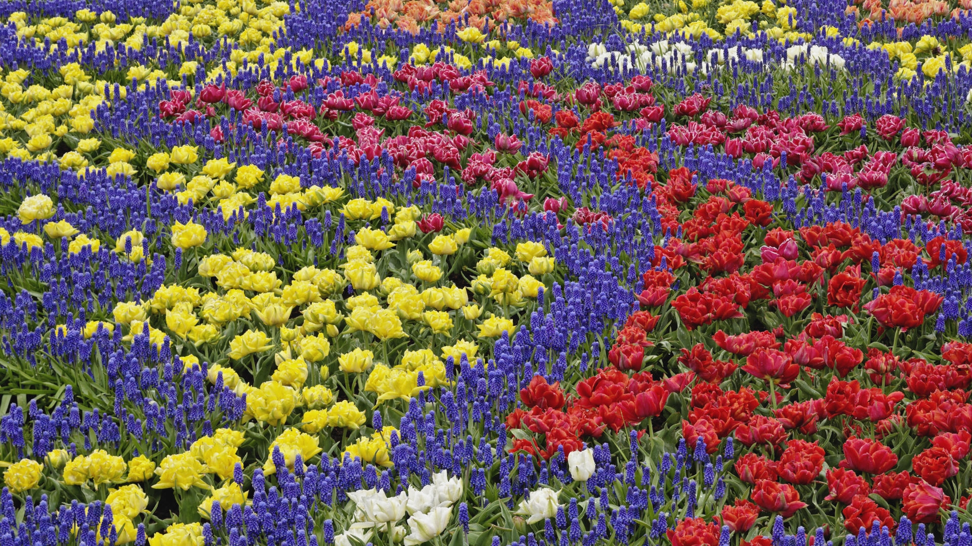 тюльпаны клумба  № 1349372 без смс