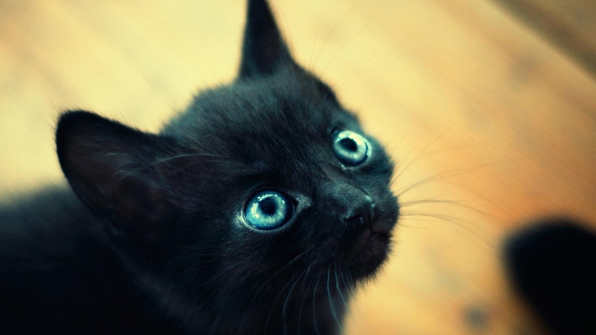 Гулубоглазый дымчатый котенок скачать