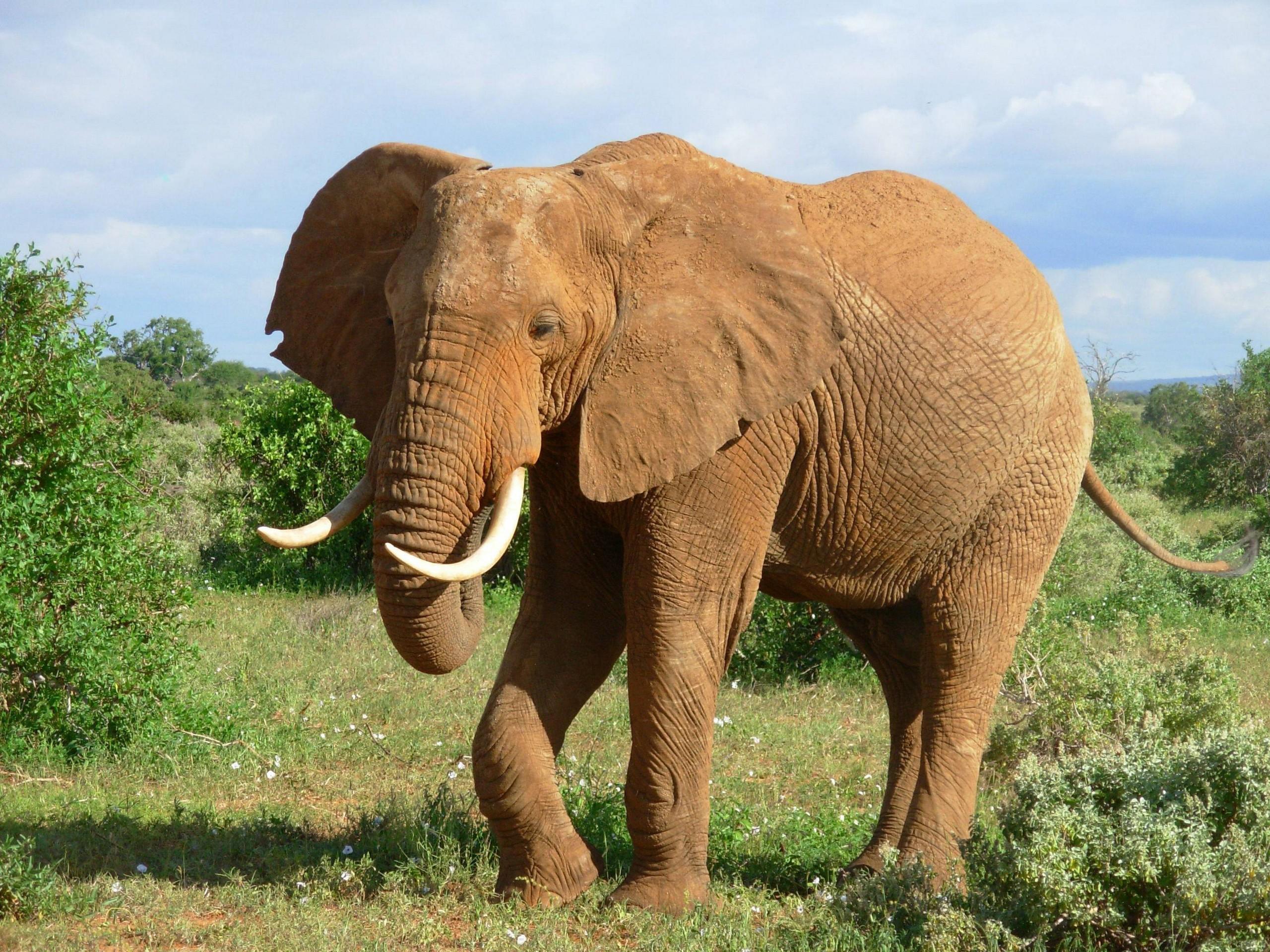 Слон  № 1010764 бесплатно