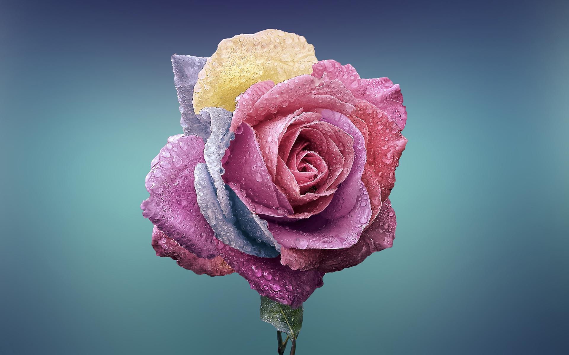 Картинки цветов роза красивые
