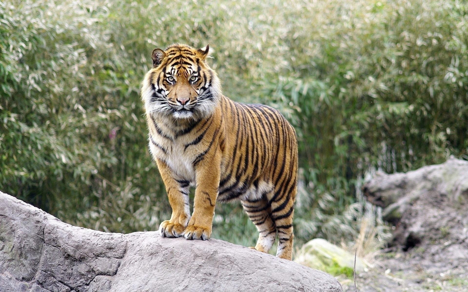 Картинки, тигры фото красивые