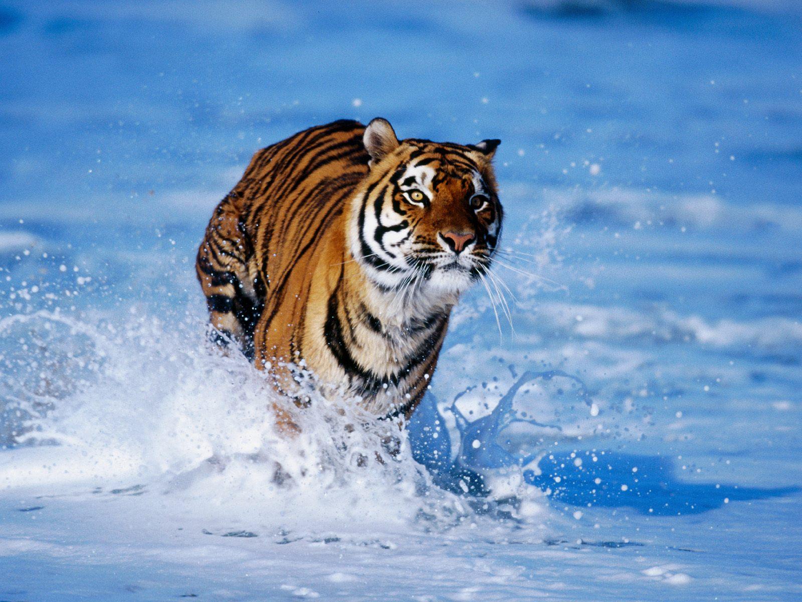 Тигры фото красивые, мамочка днем рождения