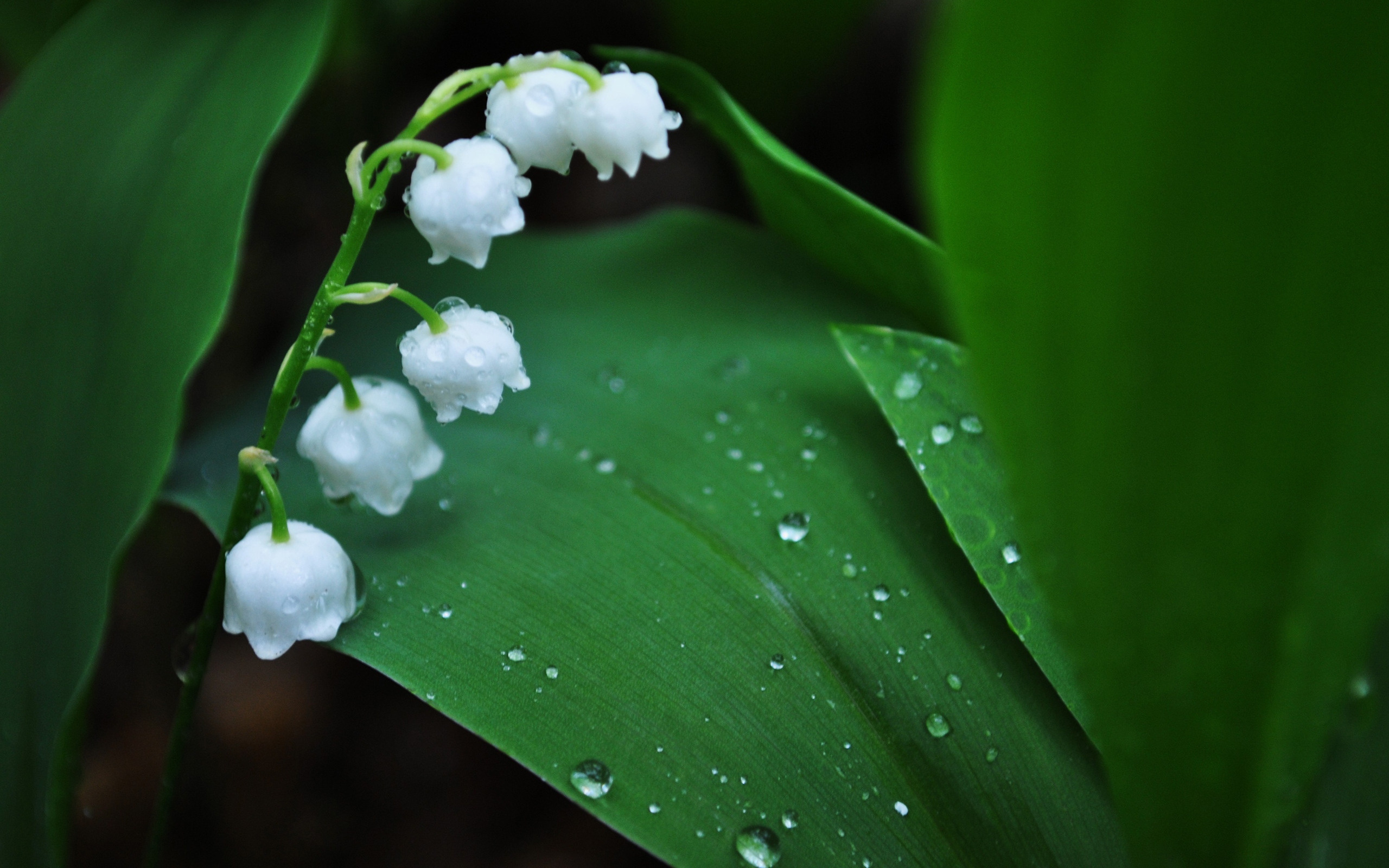 природа белые цветы ландыши загрузить