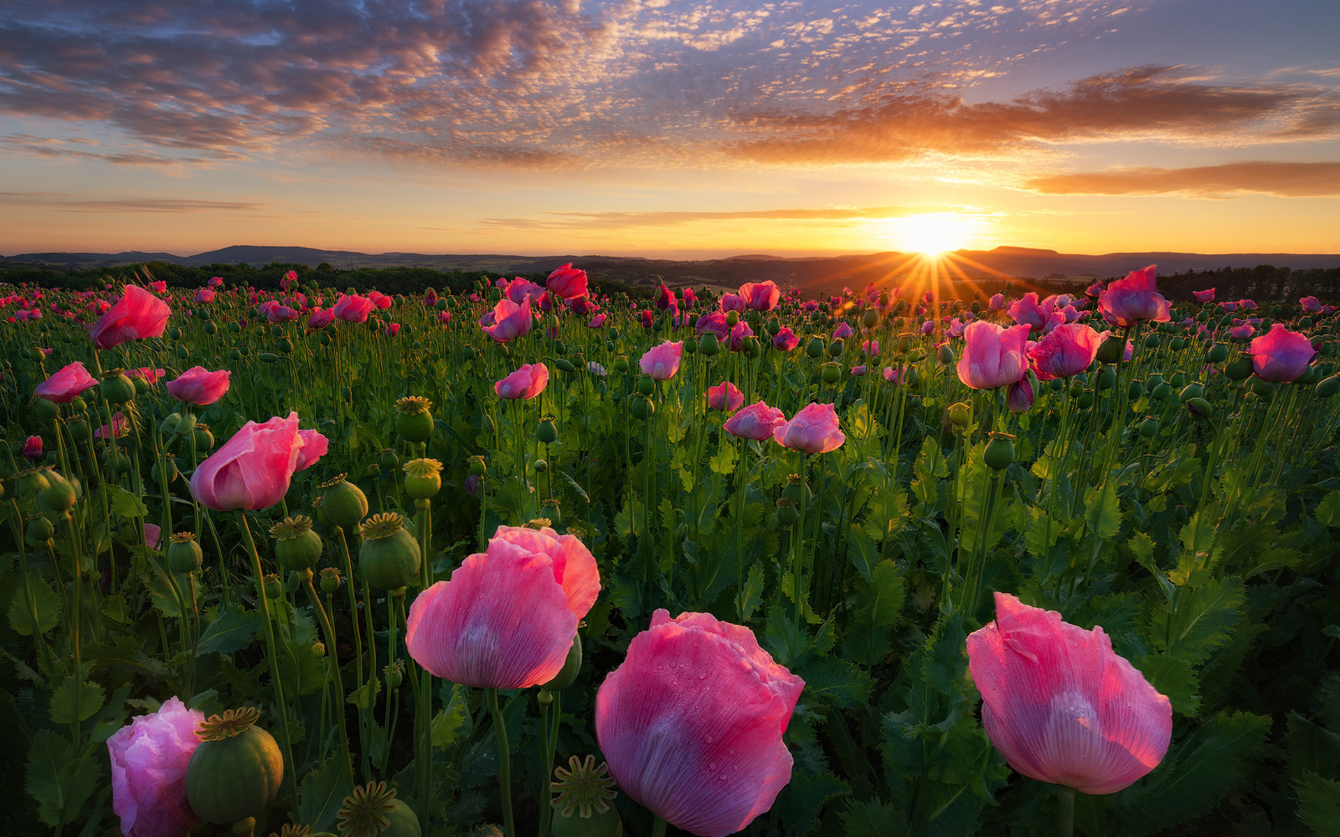 поле цветы рассвет field flowers dawn загрузить