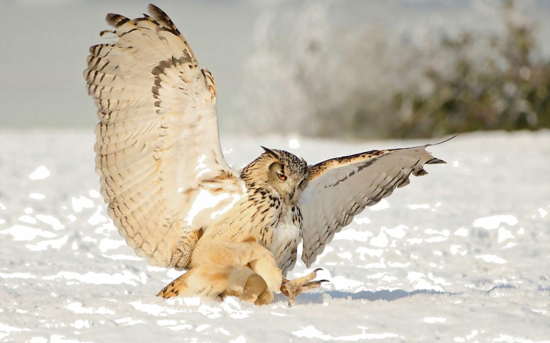 сова охотится картинки работа вдохновляет