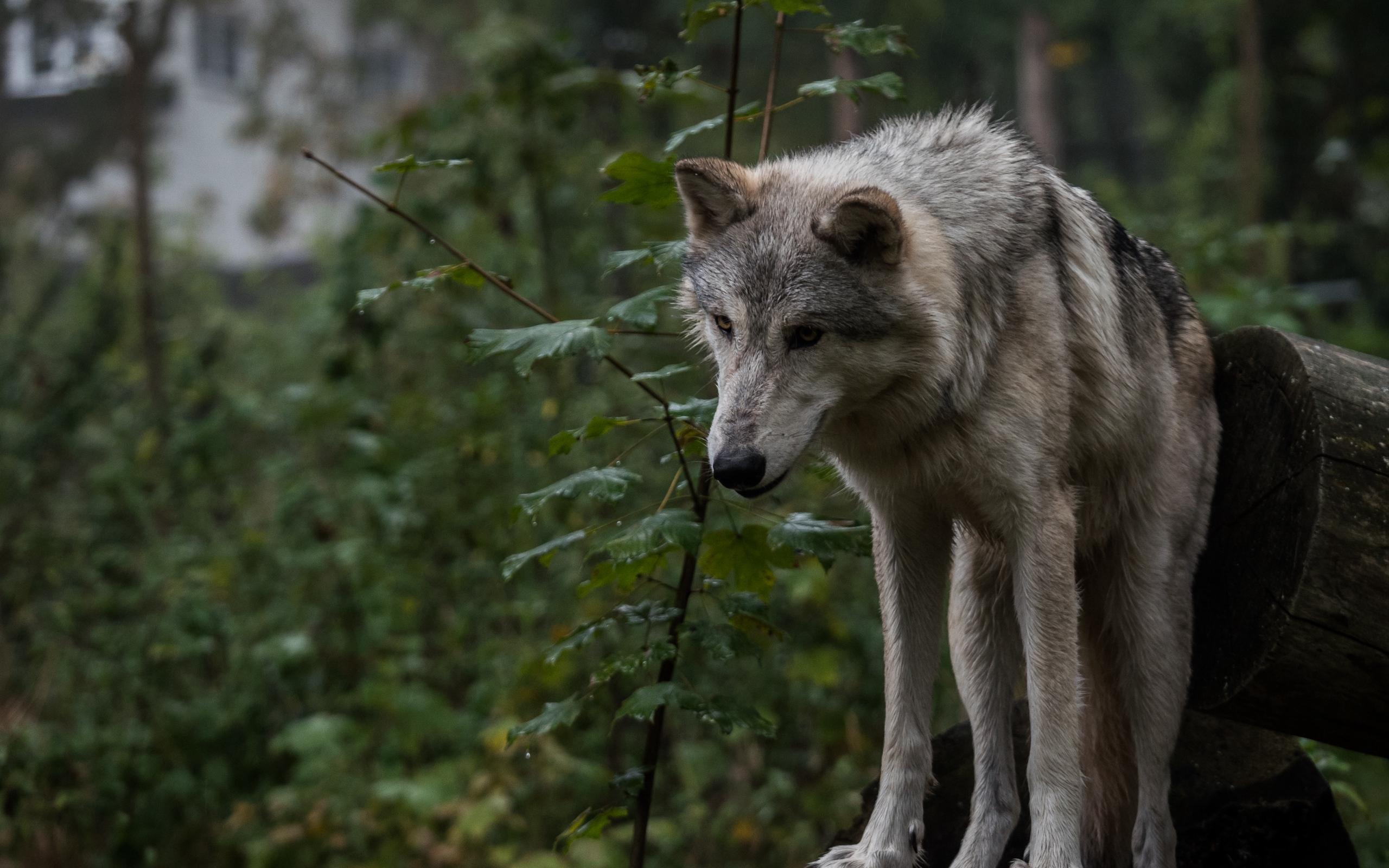 фото волка на фоне города обладает
