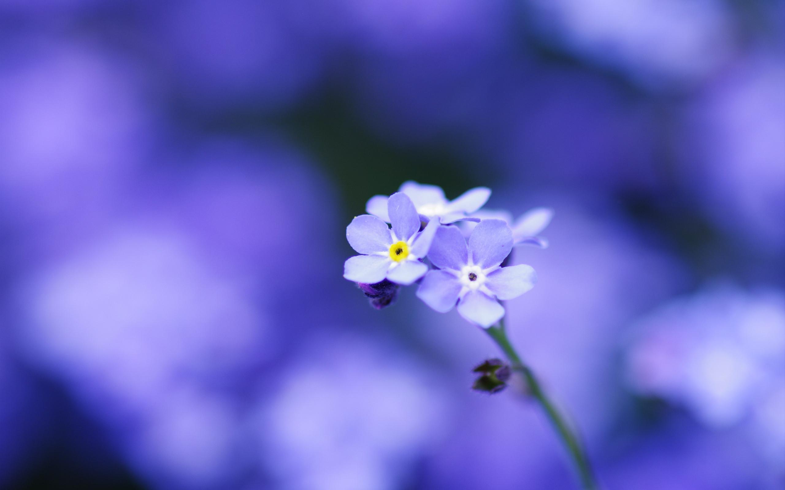 синие цветы природа незабудки загрузить