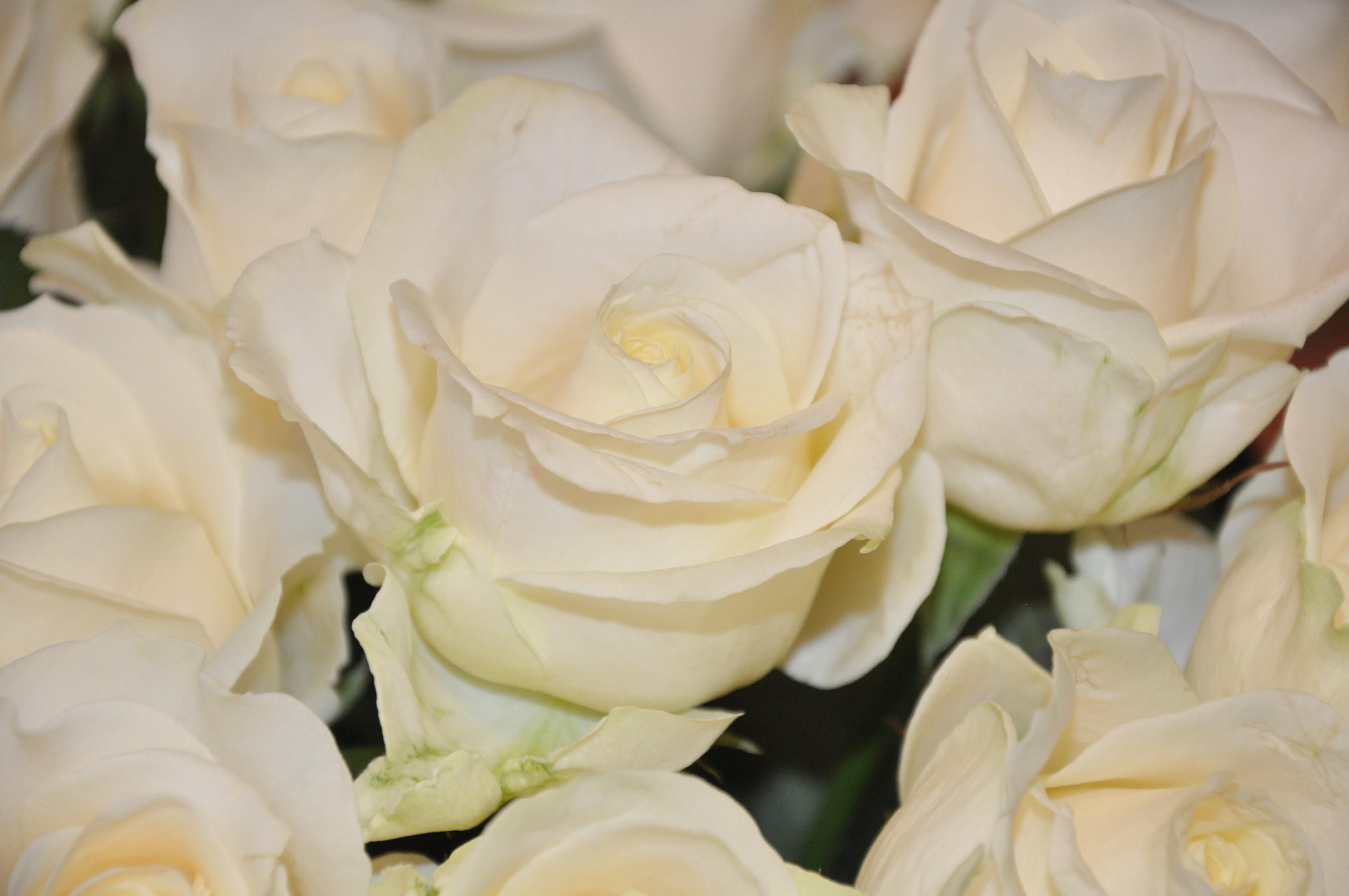 серия картинки на рабочий стол белые розы вышка