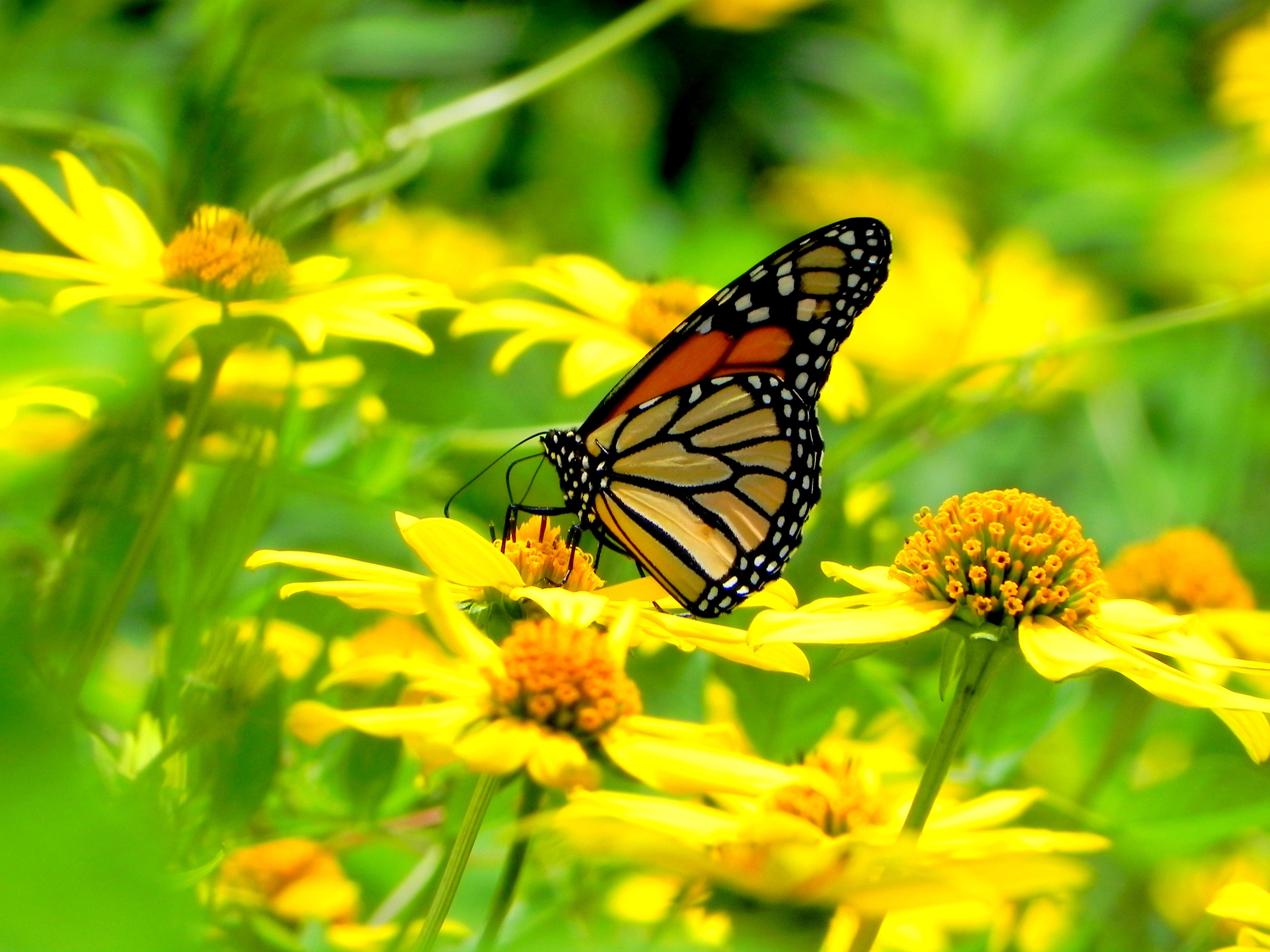 цветы,желтые,бабочка  № 664906 бесплатно