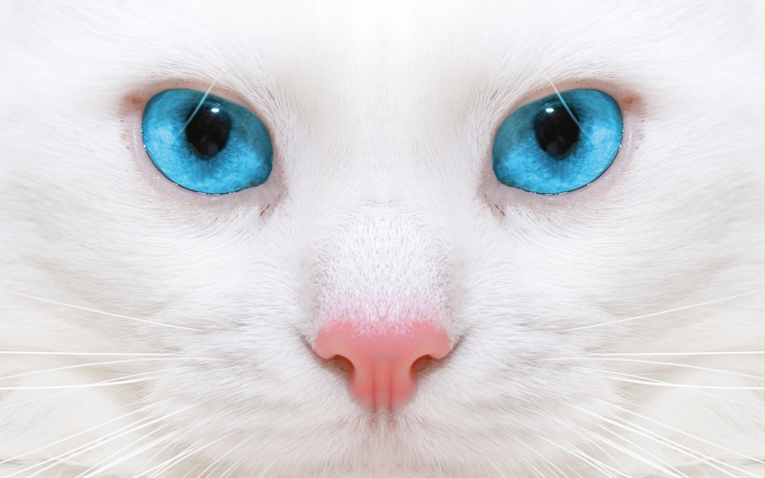 кошка язык глаза сердечки  № 2824784  скачать
