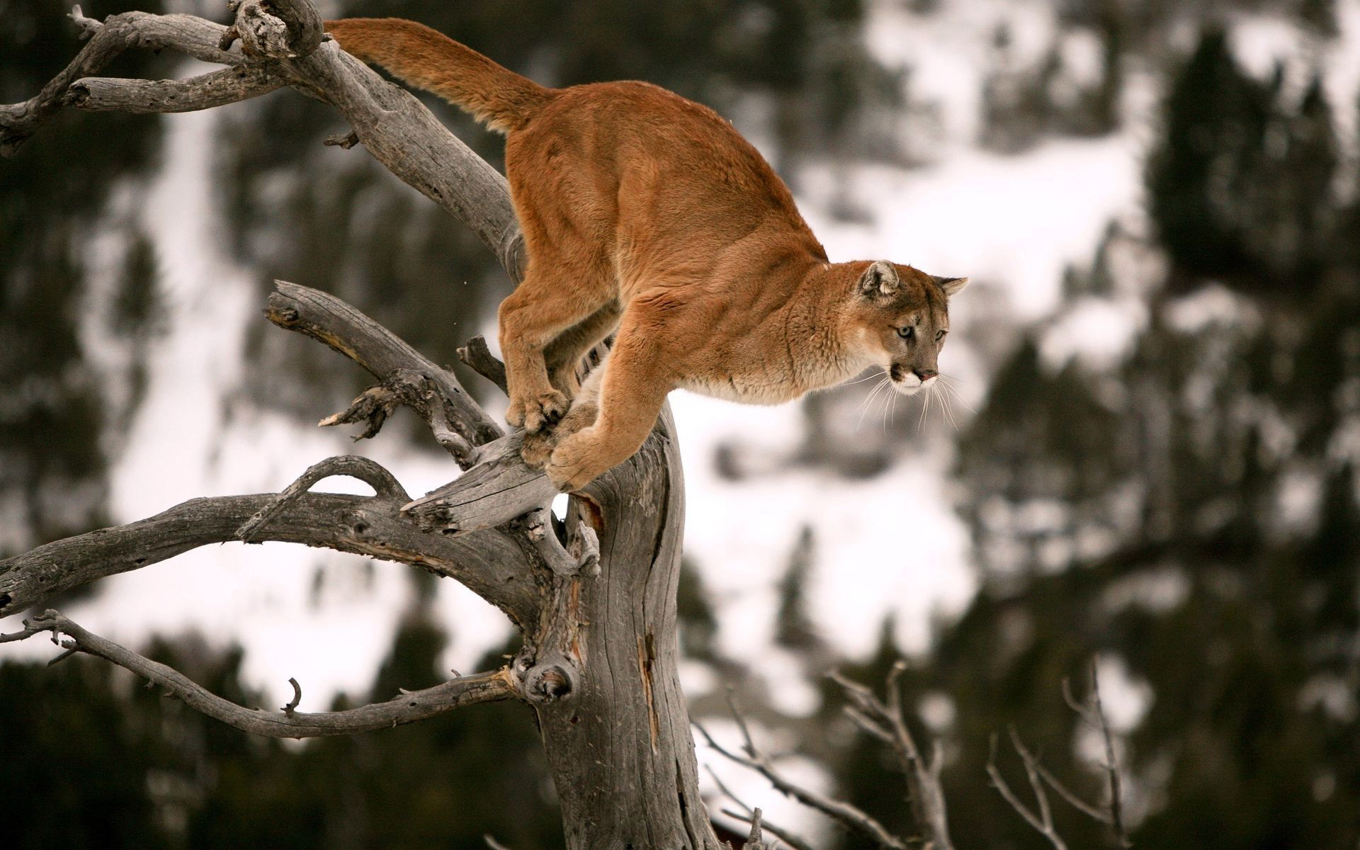 природа животные ветка деревья рысь nature animals branch trees lynx  № 559957  скачать