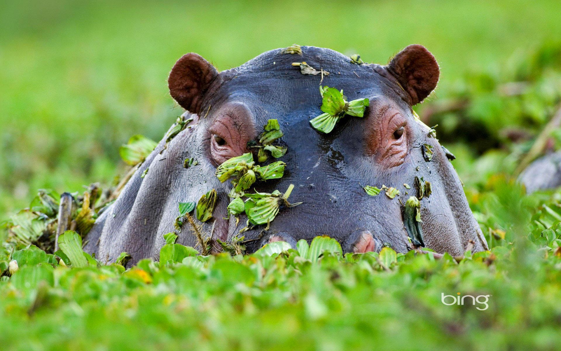 Для, картинки с бегемотами на рабочий стол