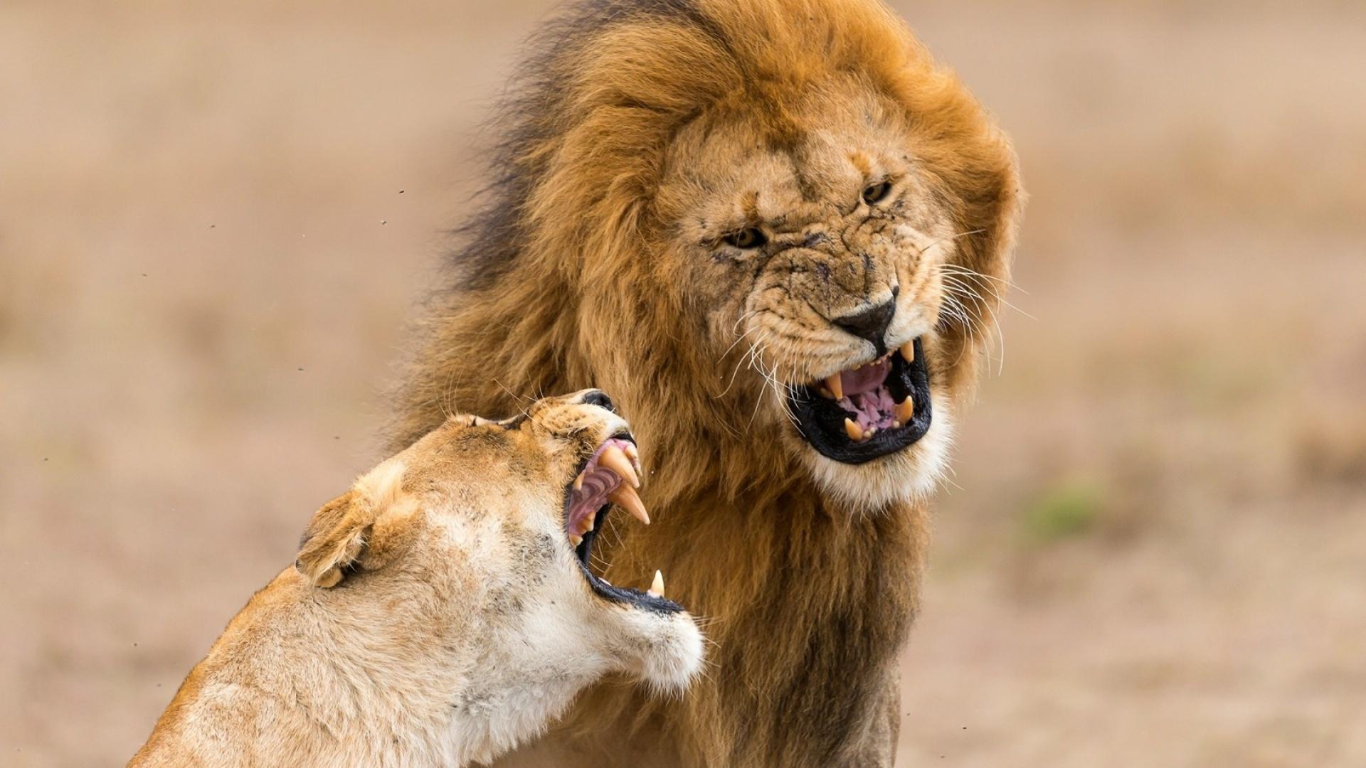 Приколы, картинки льва и львицы смешные