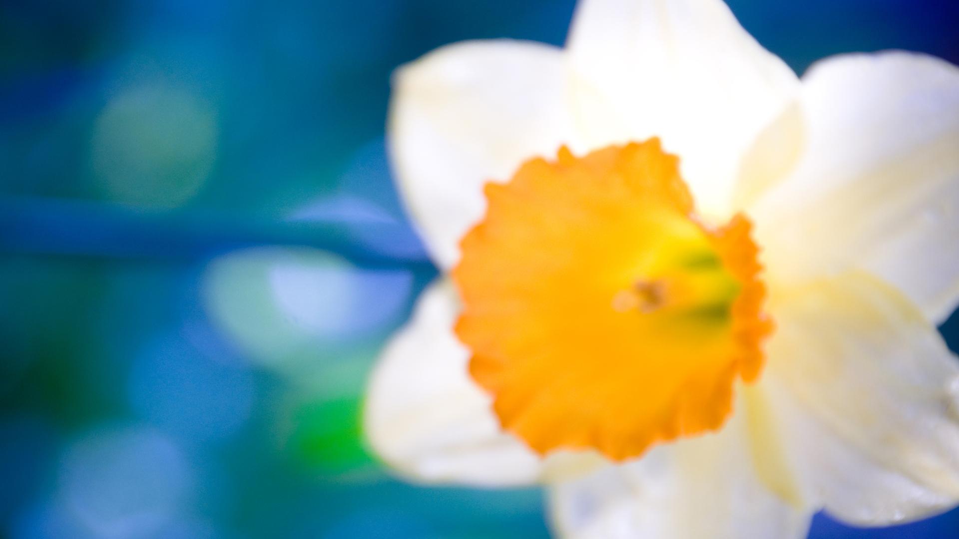 Распустивныйся цветок  № 2992597 без смс