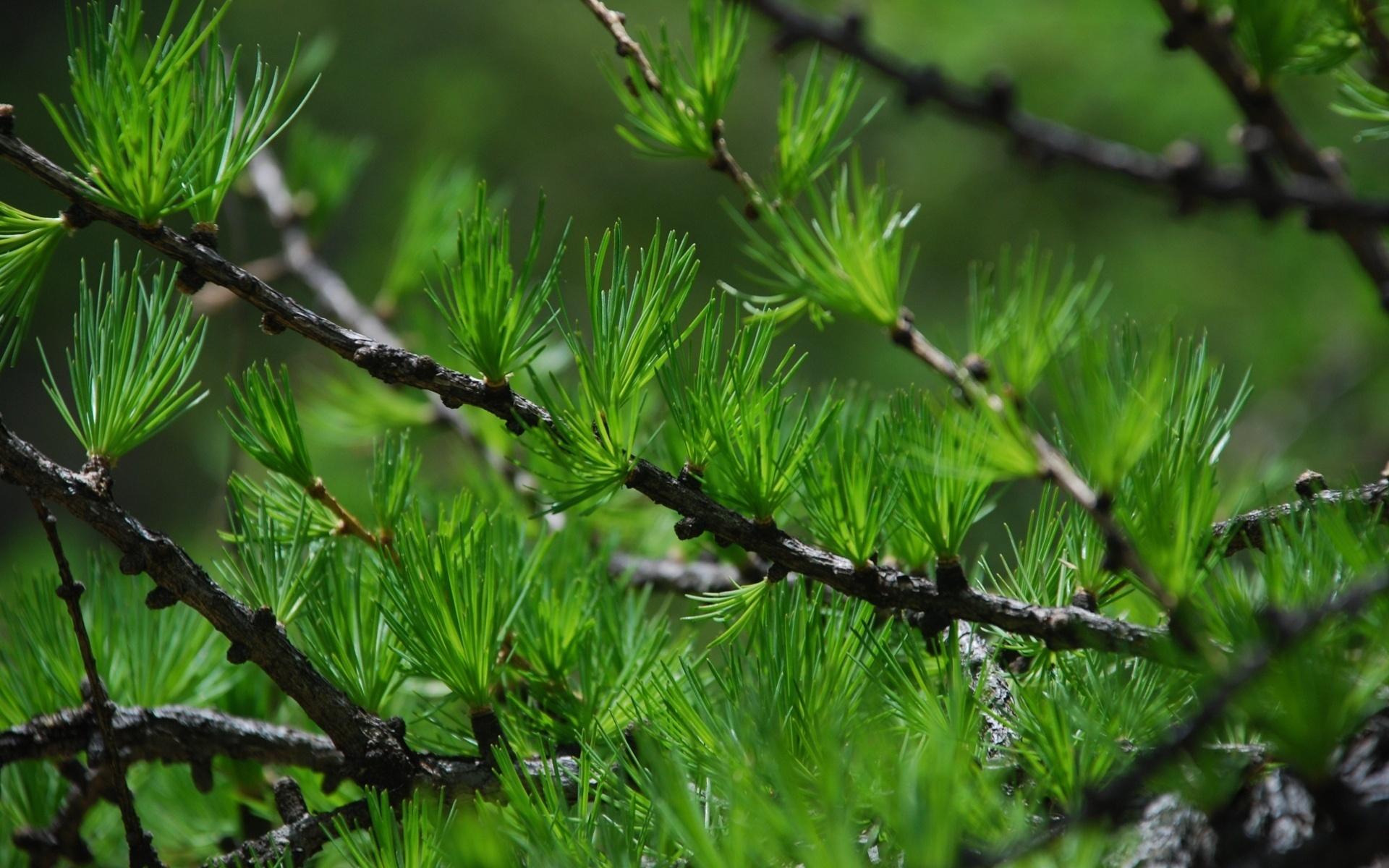 природа деревья ель  № 316127 без смс