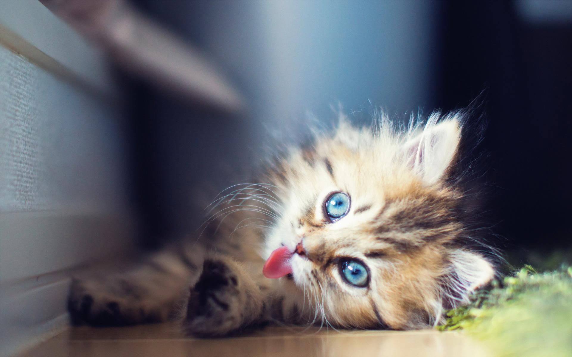 Голубоглазые кота  № 3010556  скачать