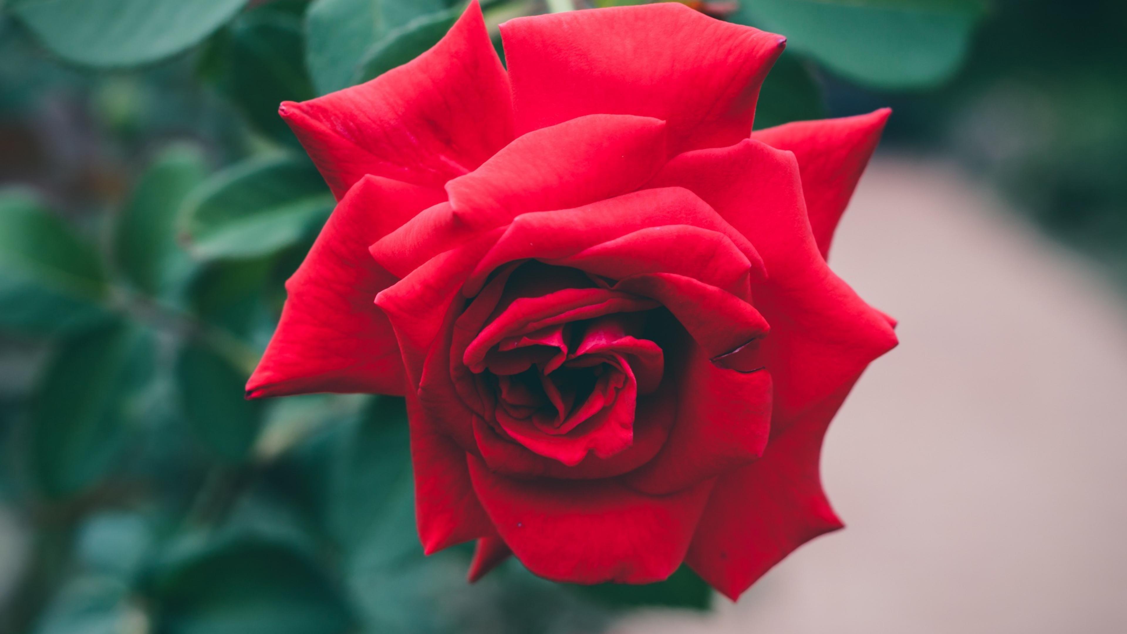 красные розы листья стебли без регистрации