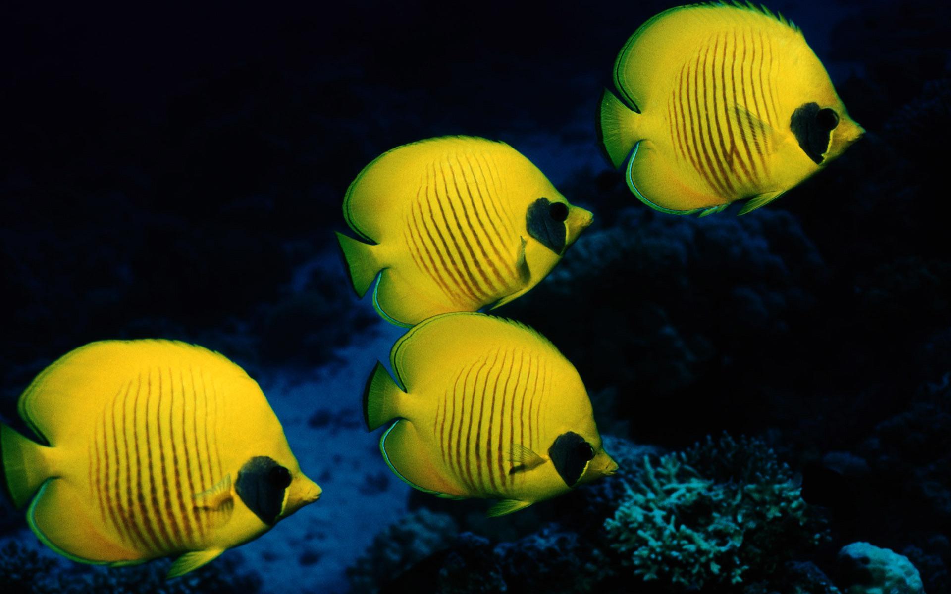 Желтая рыбка  № 1707698 бесплатно