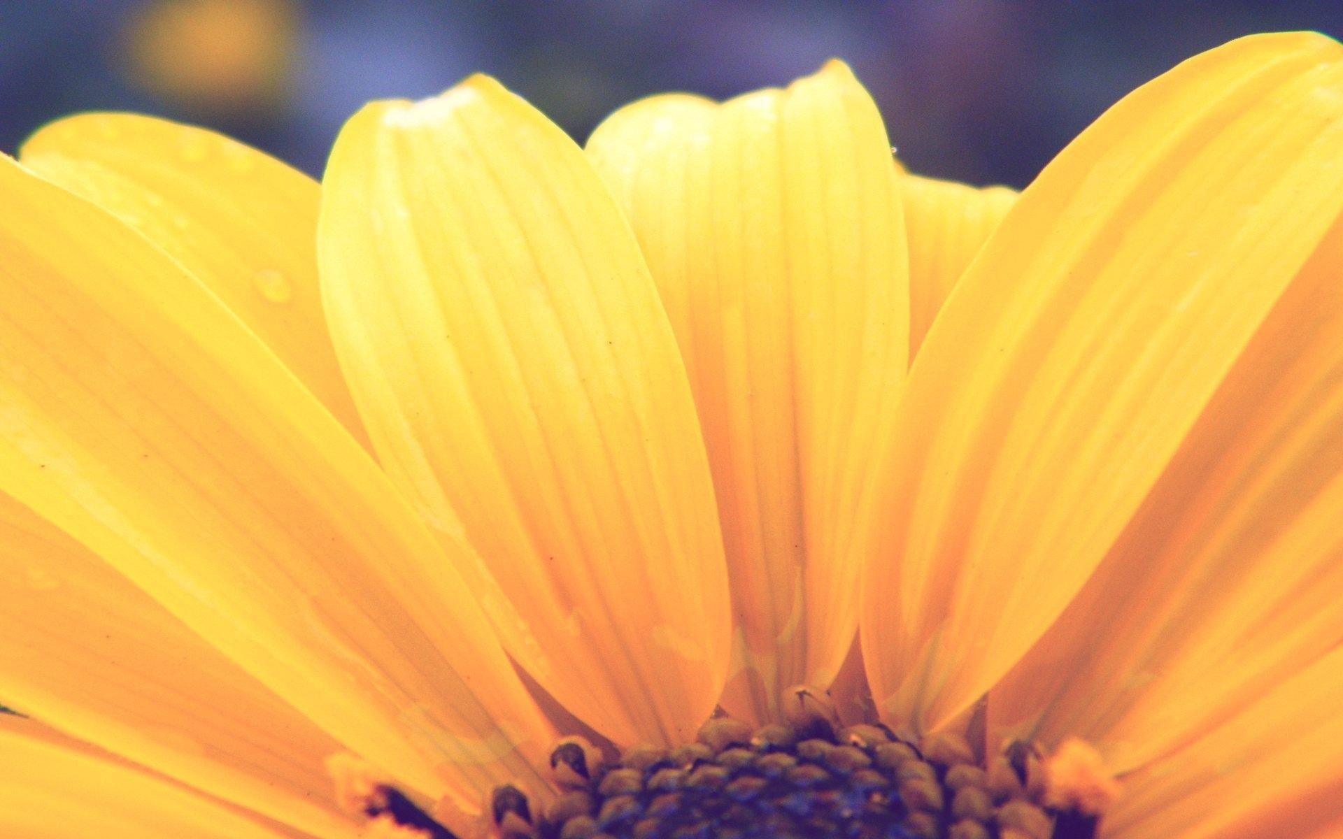 цветок желтый макро бесплатно