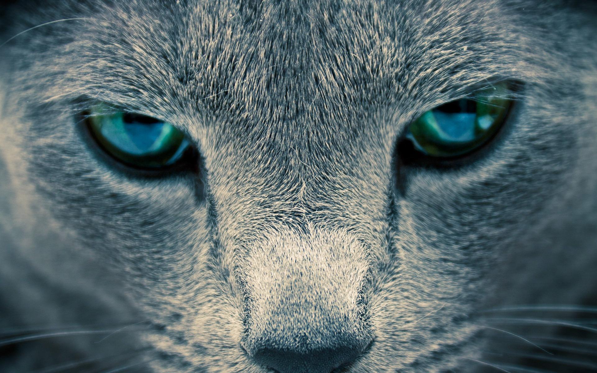 Голубоглазые кота скачать