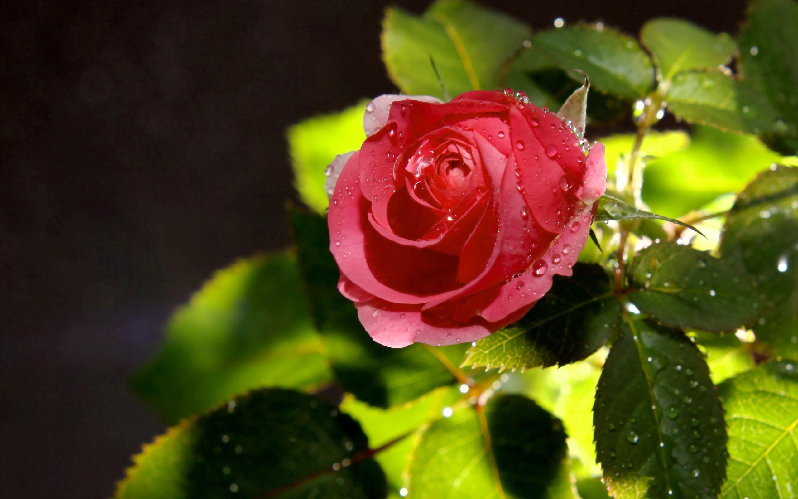 Роза с капельками  № 1352909 бесплатно