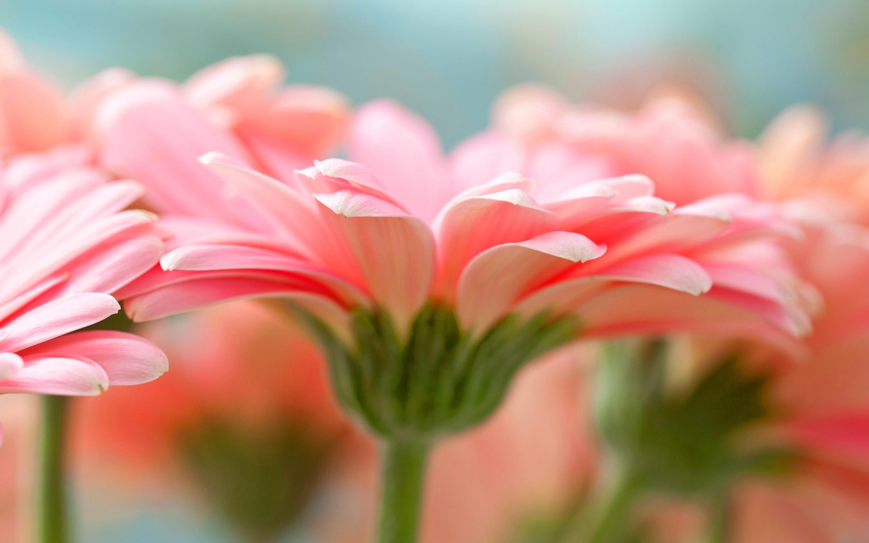 нежные-розовые цветы без смс