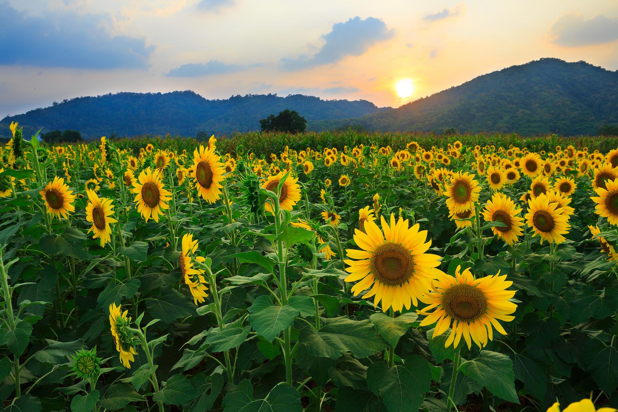 Подсолнечник sunflower цветок природа загрузить