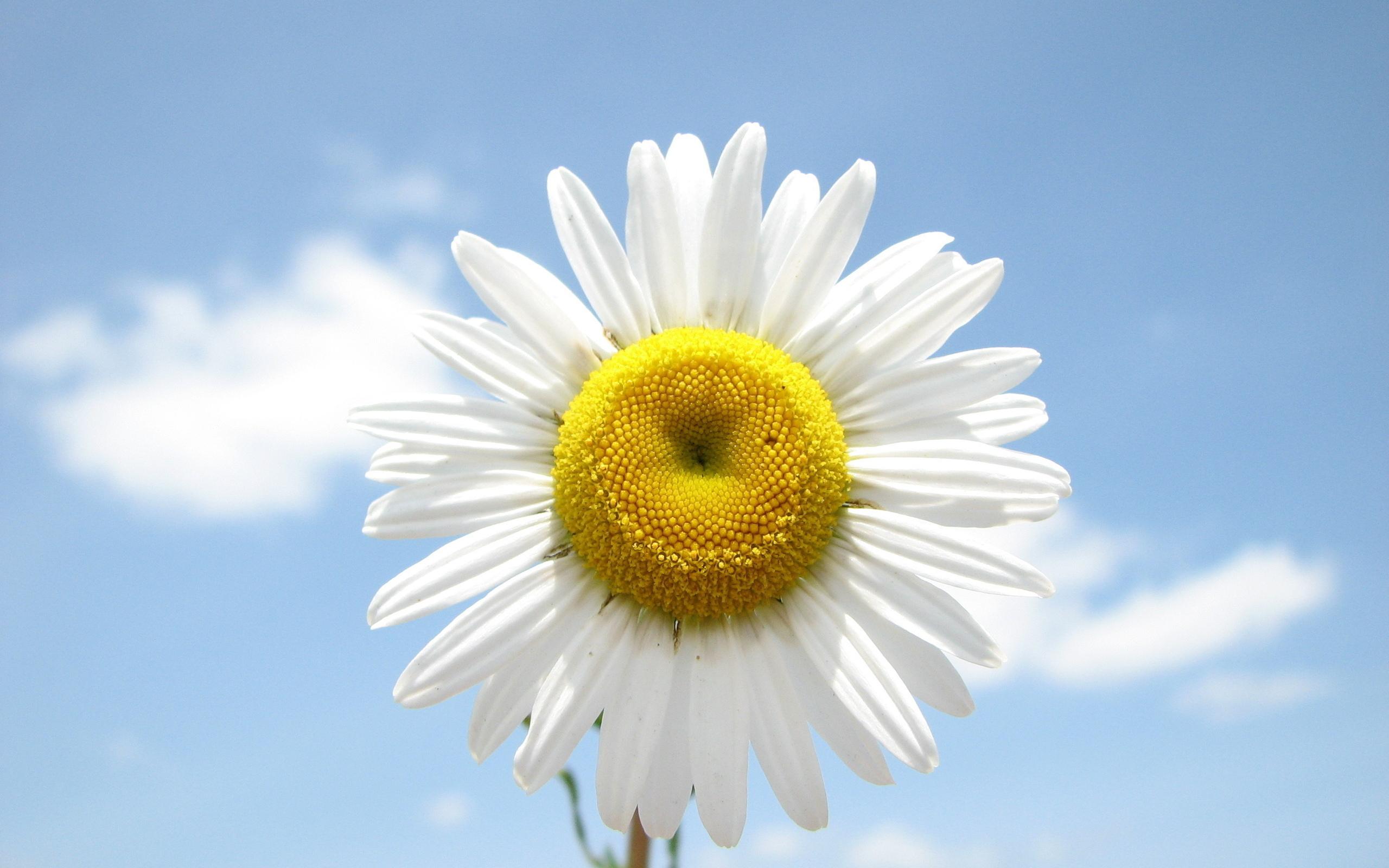 ромашка цветок улыбка скачать