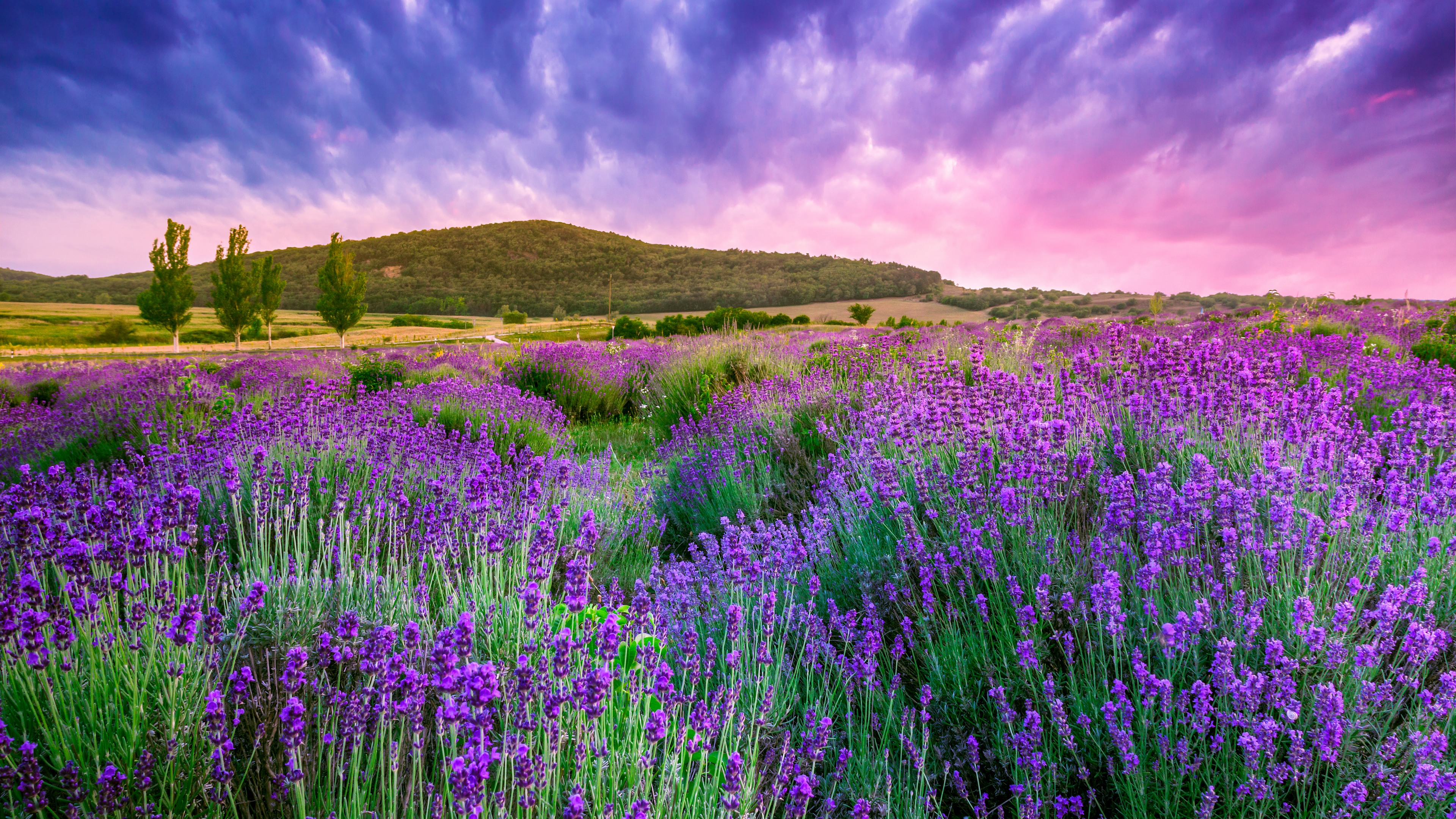 Цветы природа лаванда  № 1352127 без смс