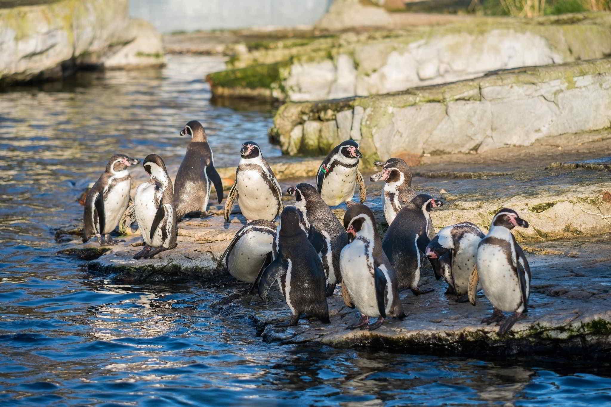 Пингвины на камушках  № 2020674 загрузить