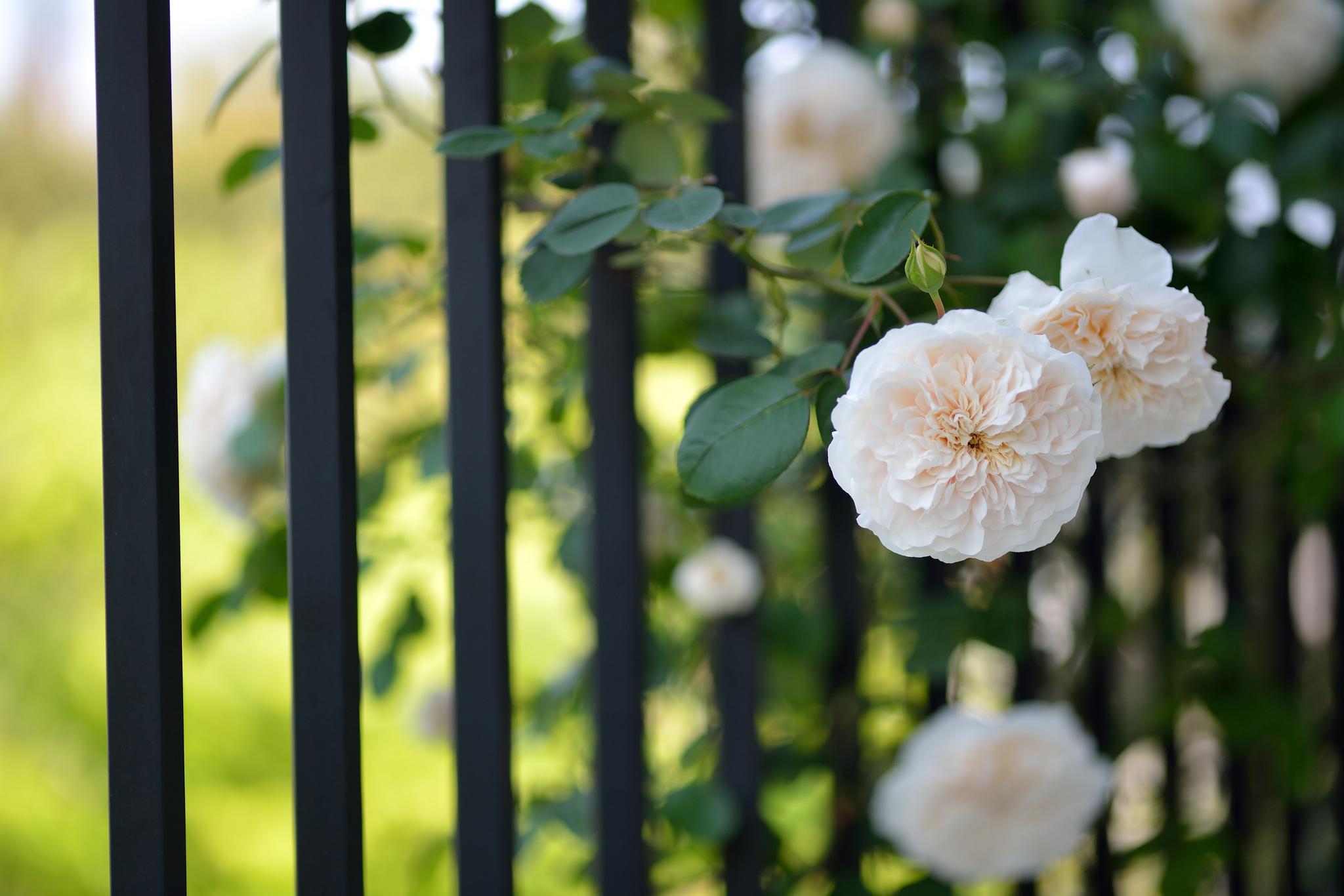 Забор цветы  № 2488869 без смс