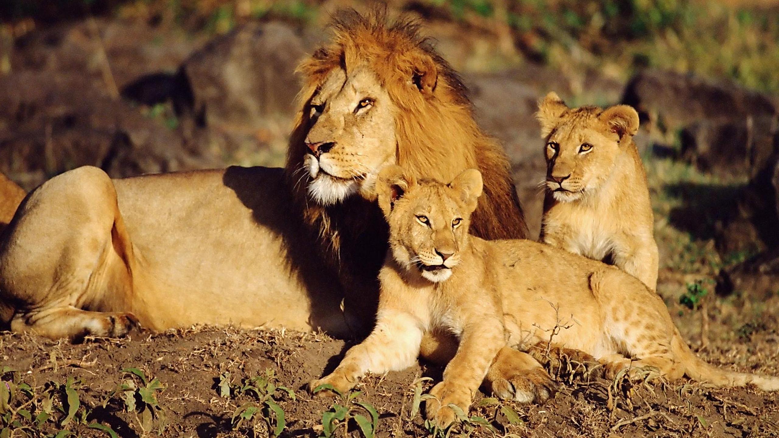 лев и львенок на траве скачать