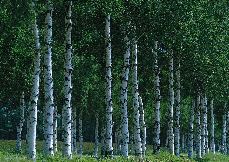 Днем рождения, картинки березовый лес