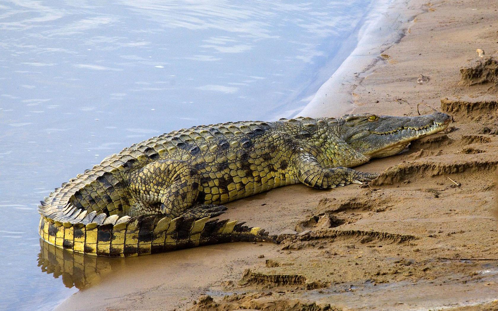 Про, картинки крокодилы