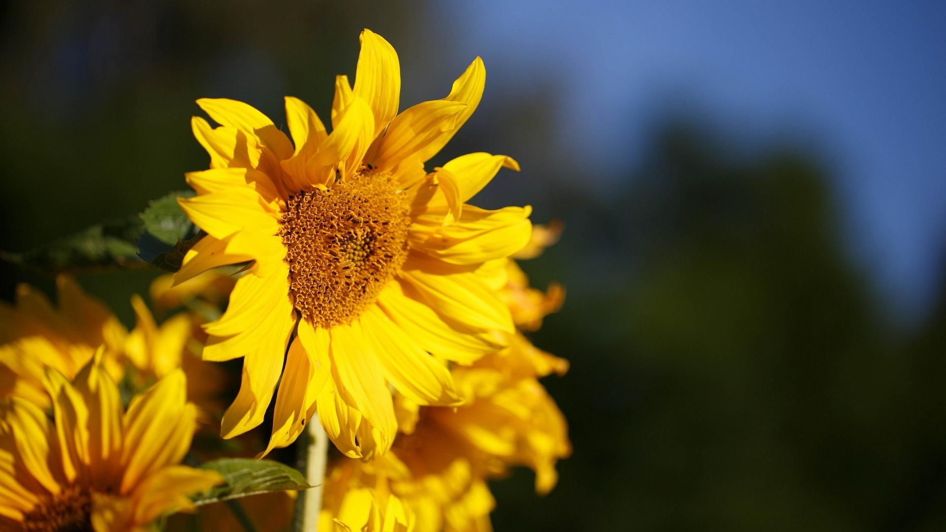 природа подсолнечник цветы nature sunflower flowers  № 2672102 загрузить
