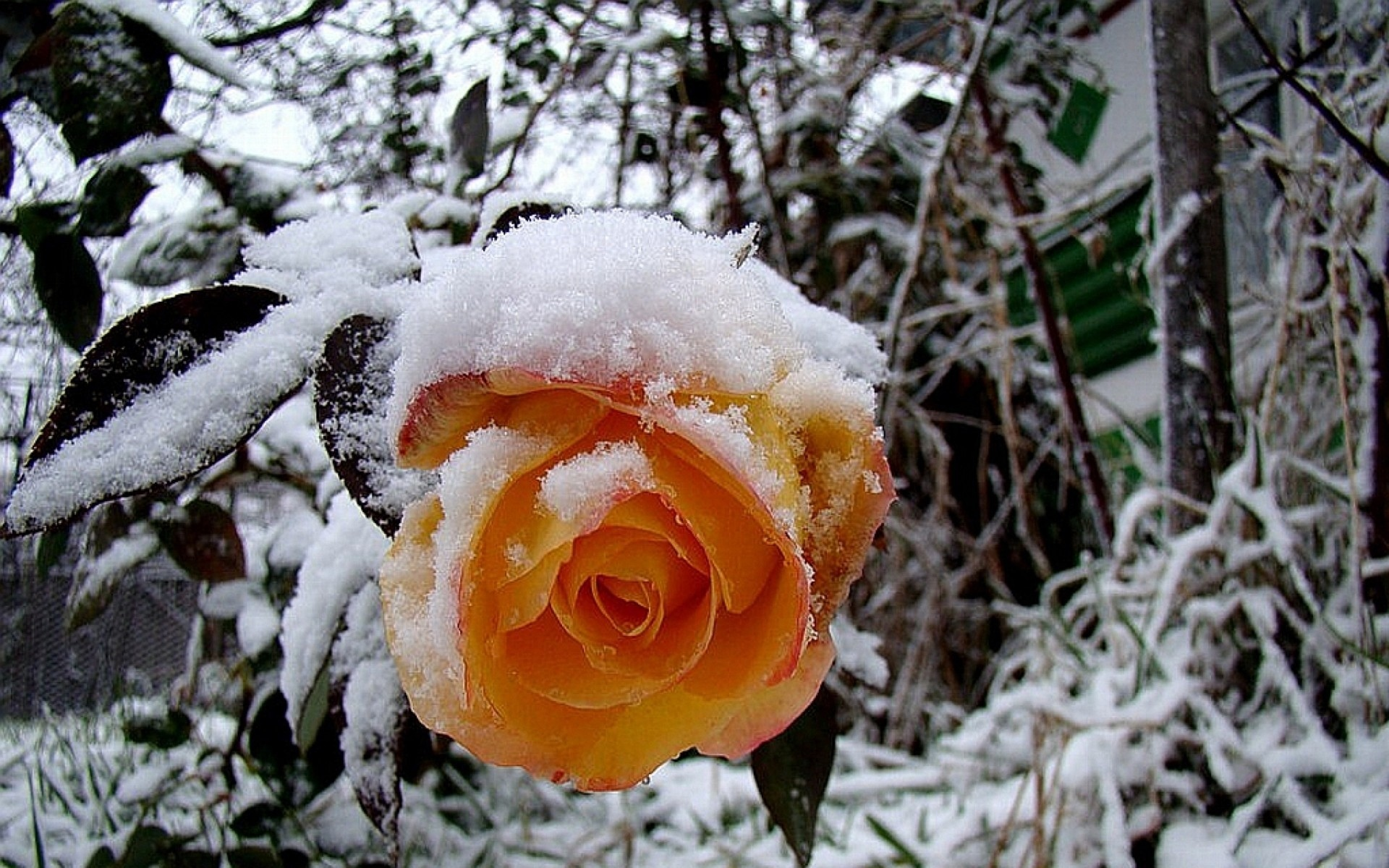 Цветы в снегу фото картинки, женщина