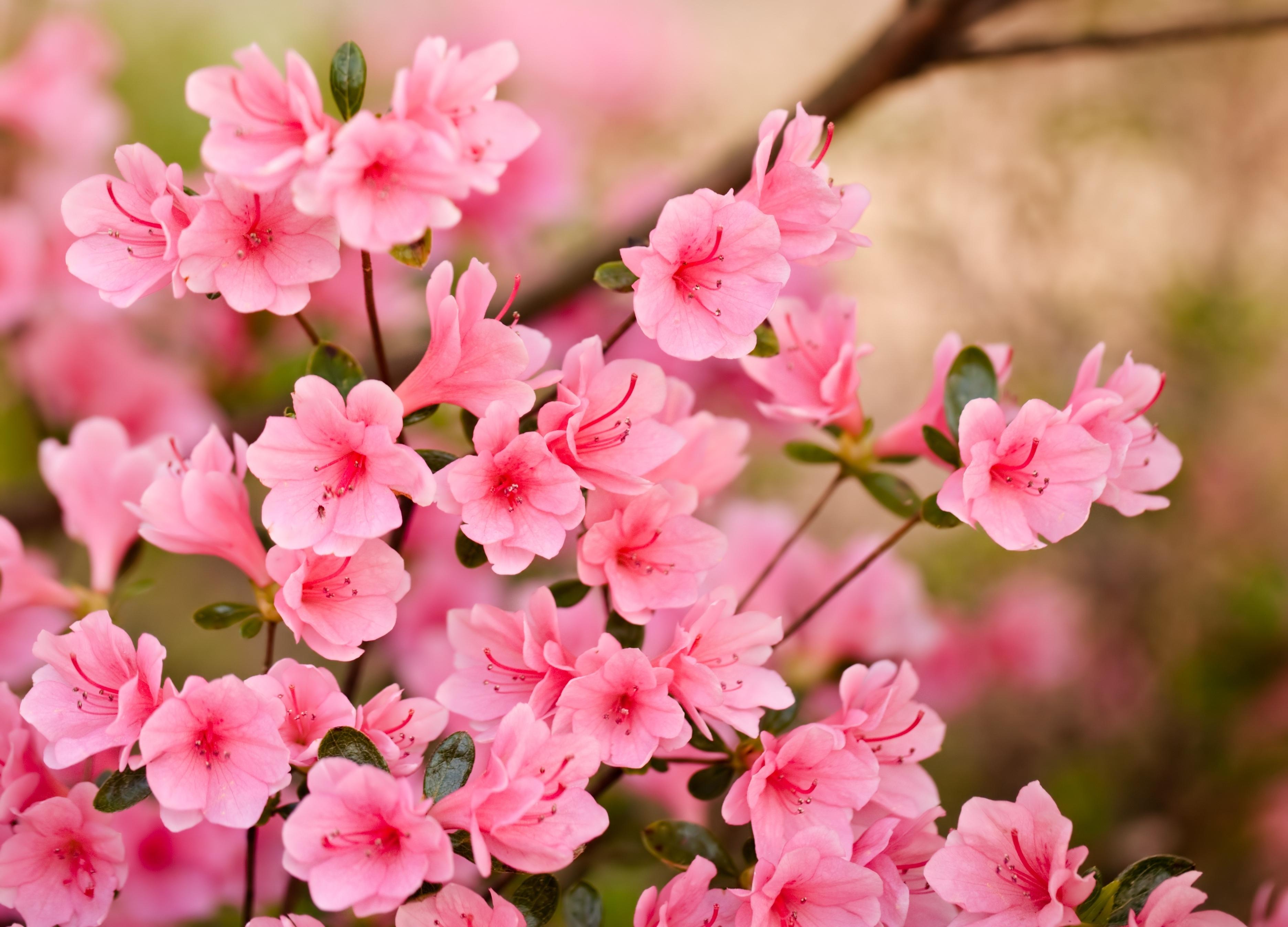 азалия лепестки цветы  № 3898098 загрузить