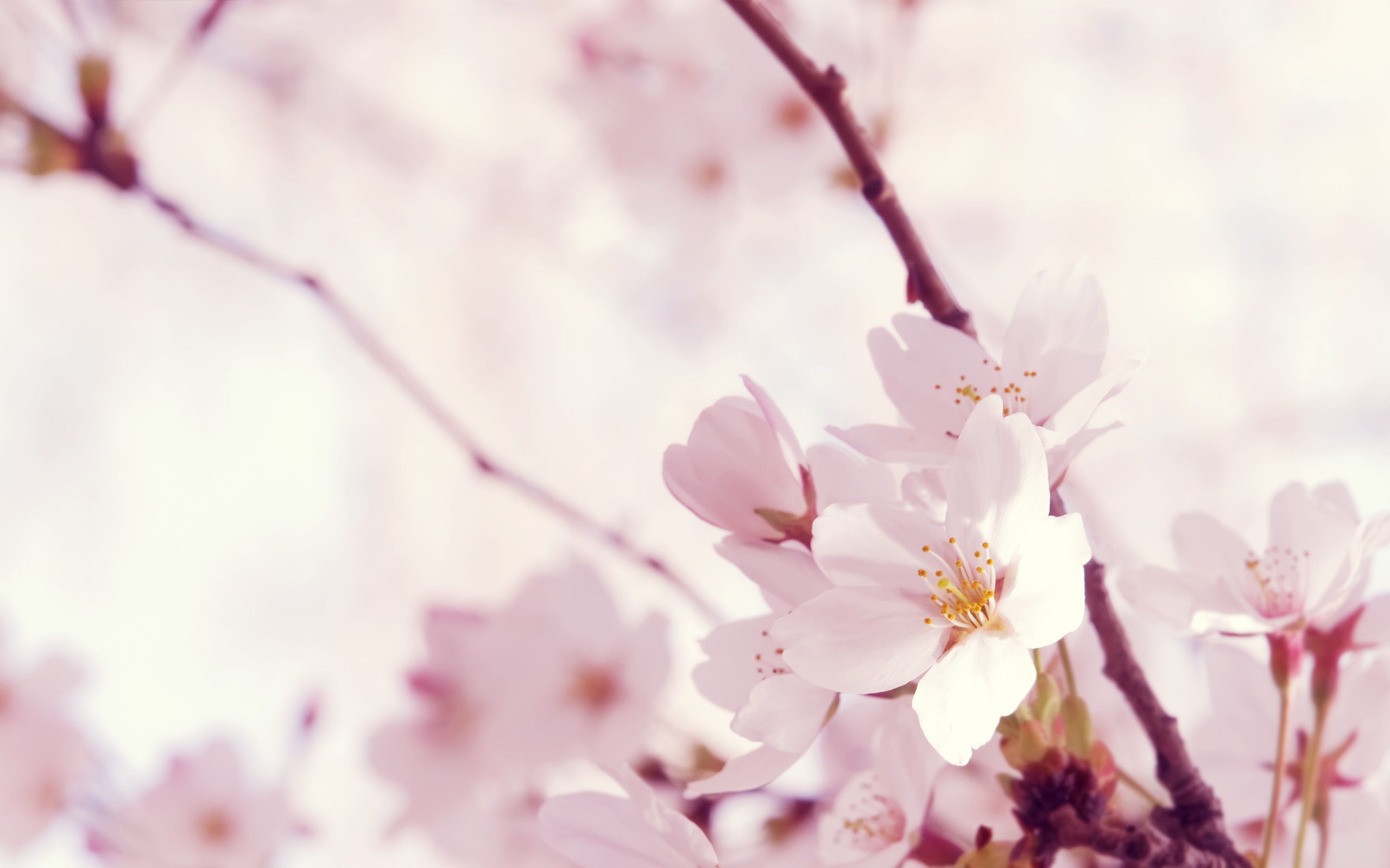 нежные цветочки на ветке  № 1333966 бесплатно